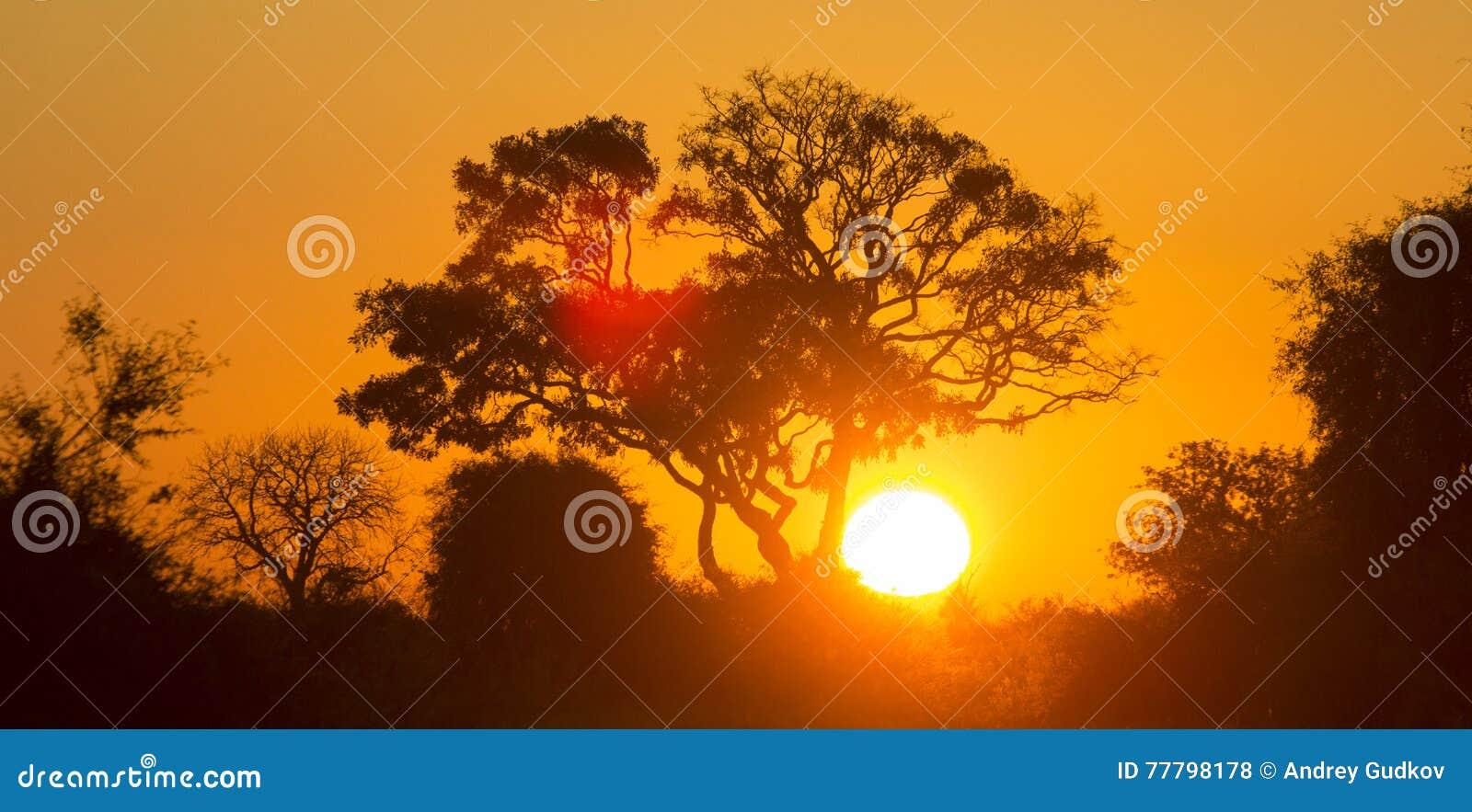 Дерево на заходе солнца в Ботсване Перепад Okavango вышесказанного