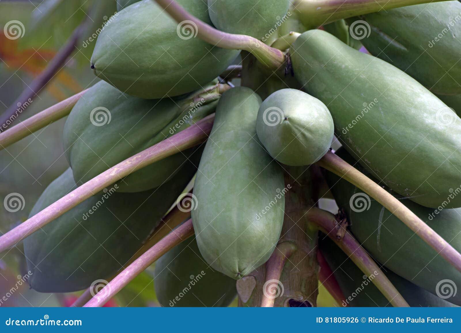 Дерево папапайи с плодоовощами