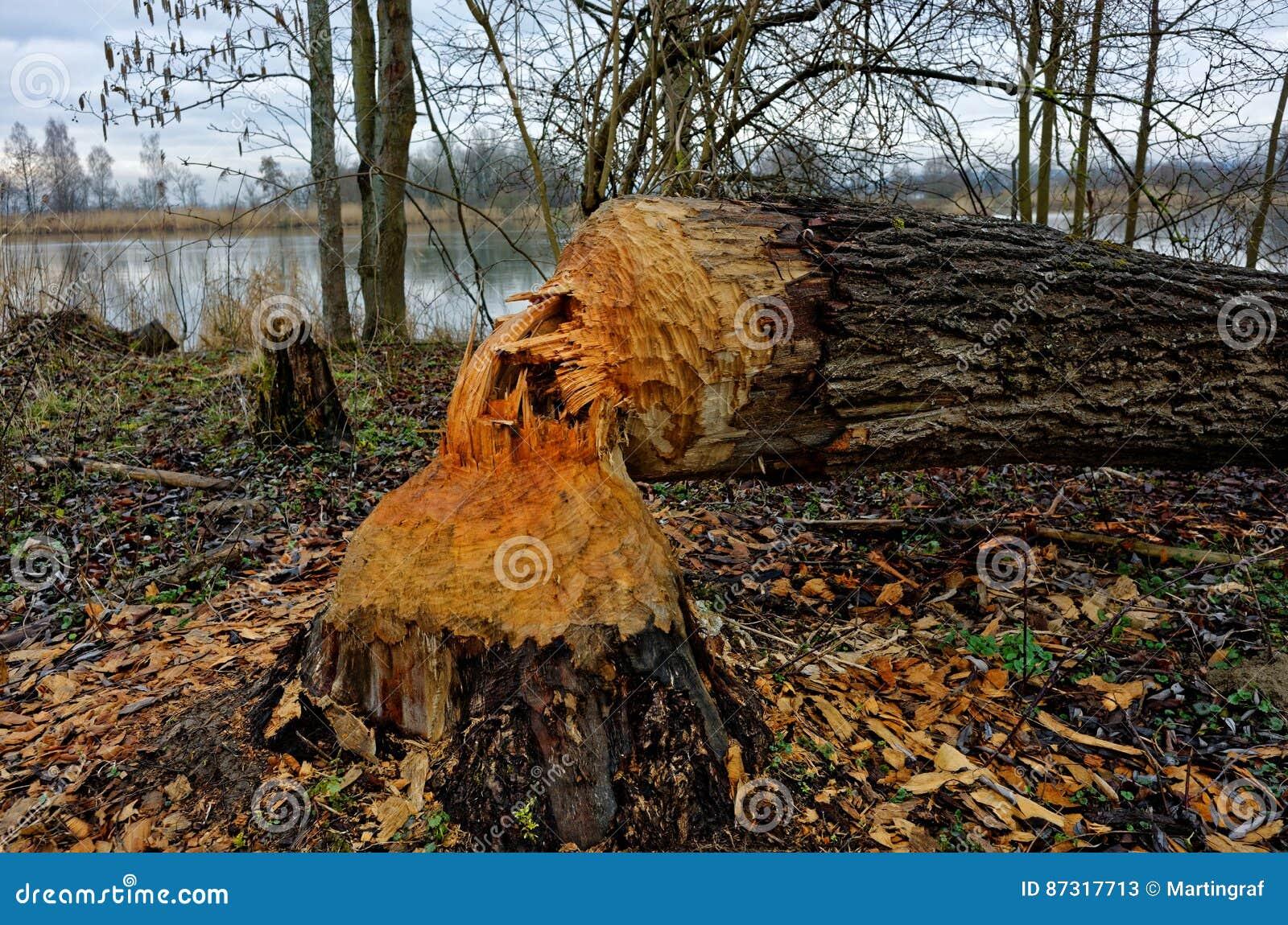 Дерево сдержанное бобром в зоне riparian