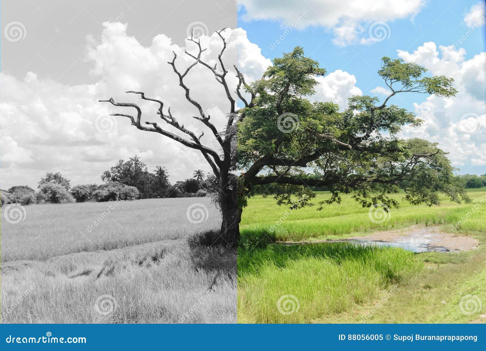 Дерево тайны которое другие наполовину мертвые и другая половина все еще живая