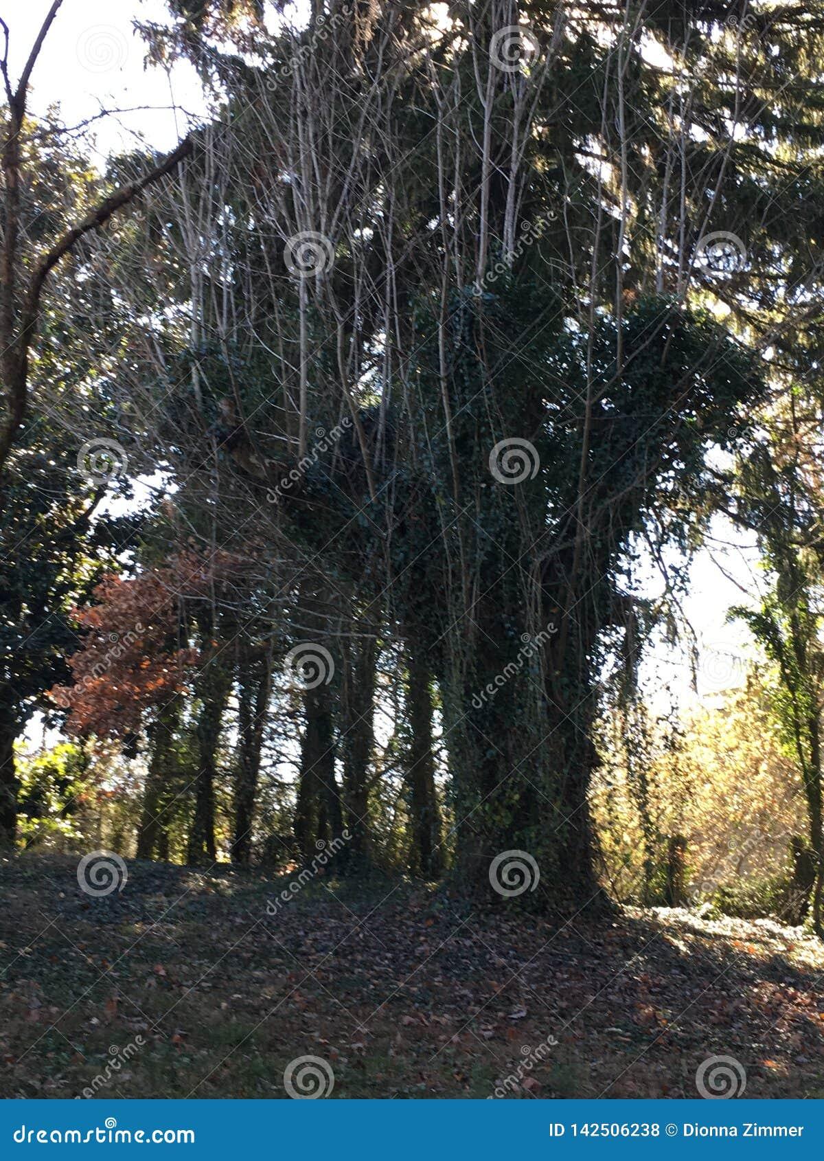 Дерево Теннесси