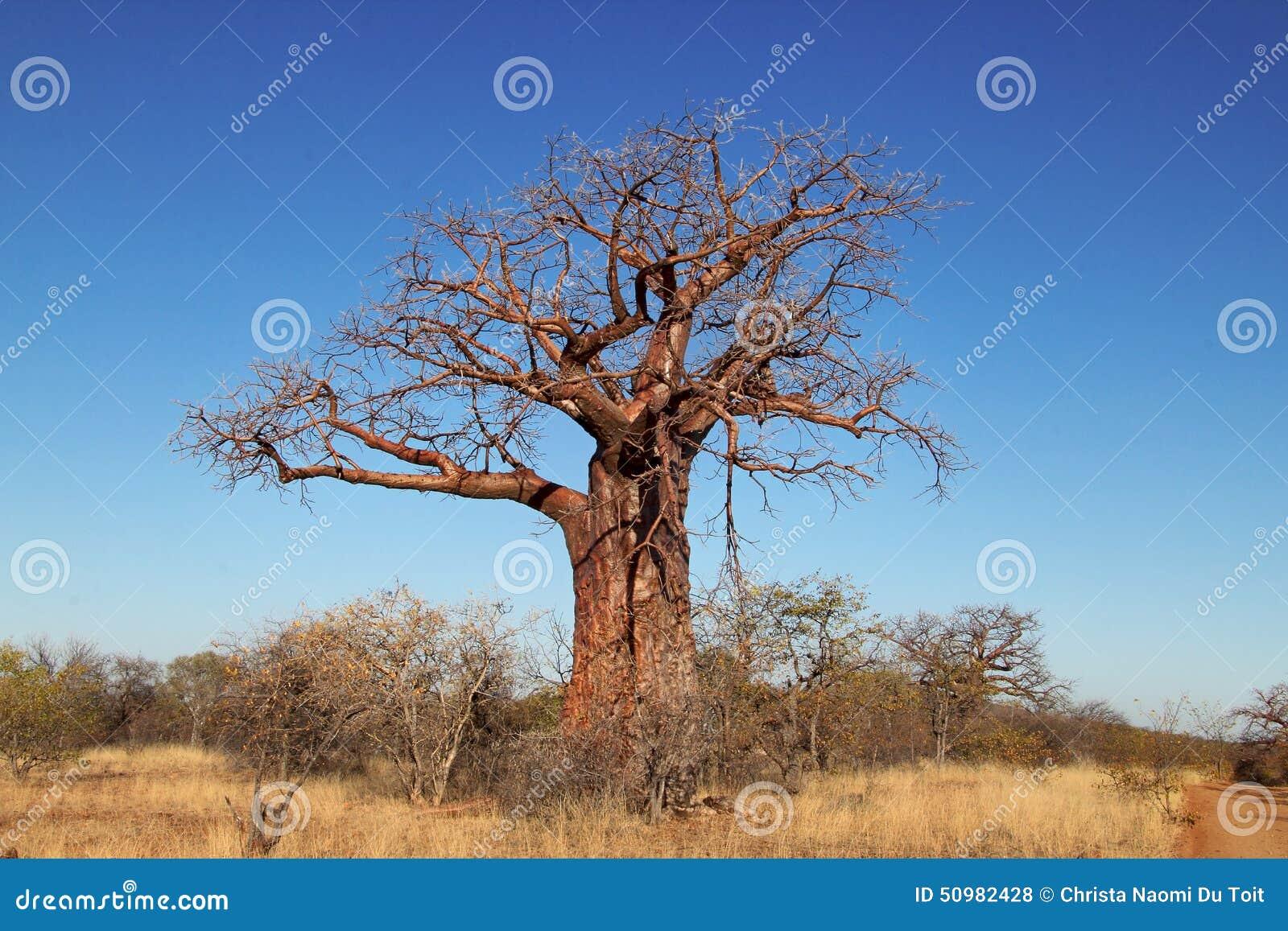 Дерево Baoba