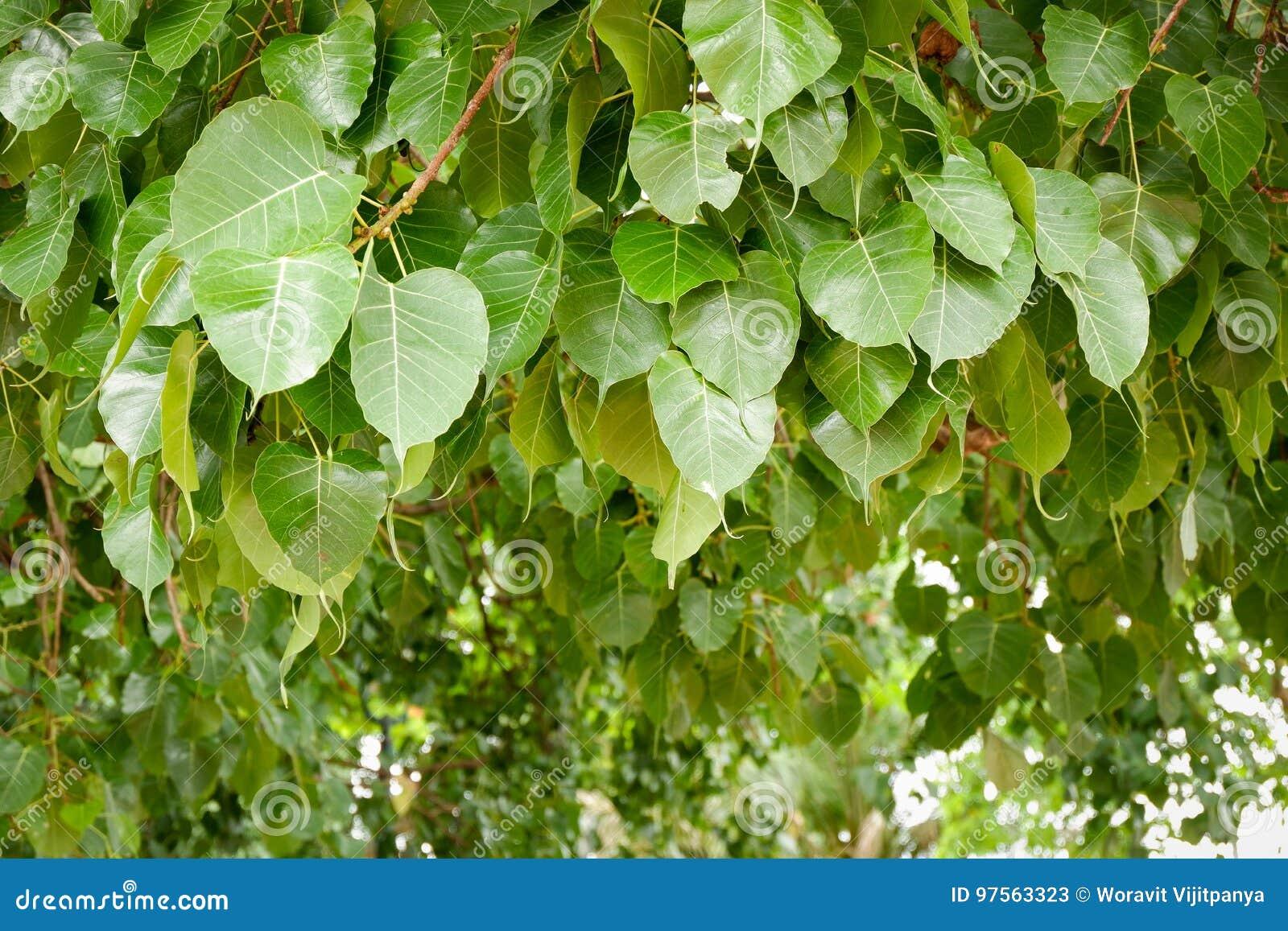 Дерево Bodhi листьев