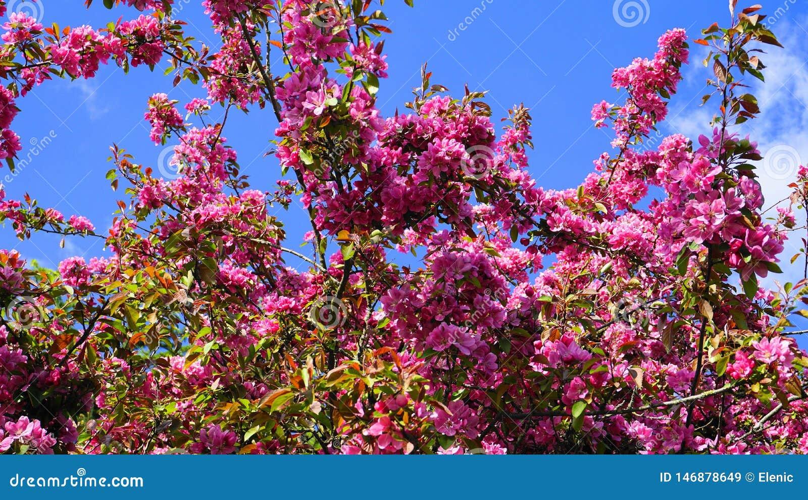 Дерево Crabapple королевской власти яблони с цветками в конце солнца утра вверх E