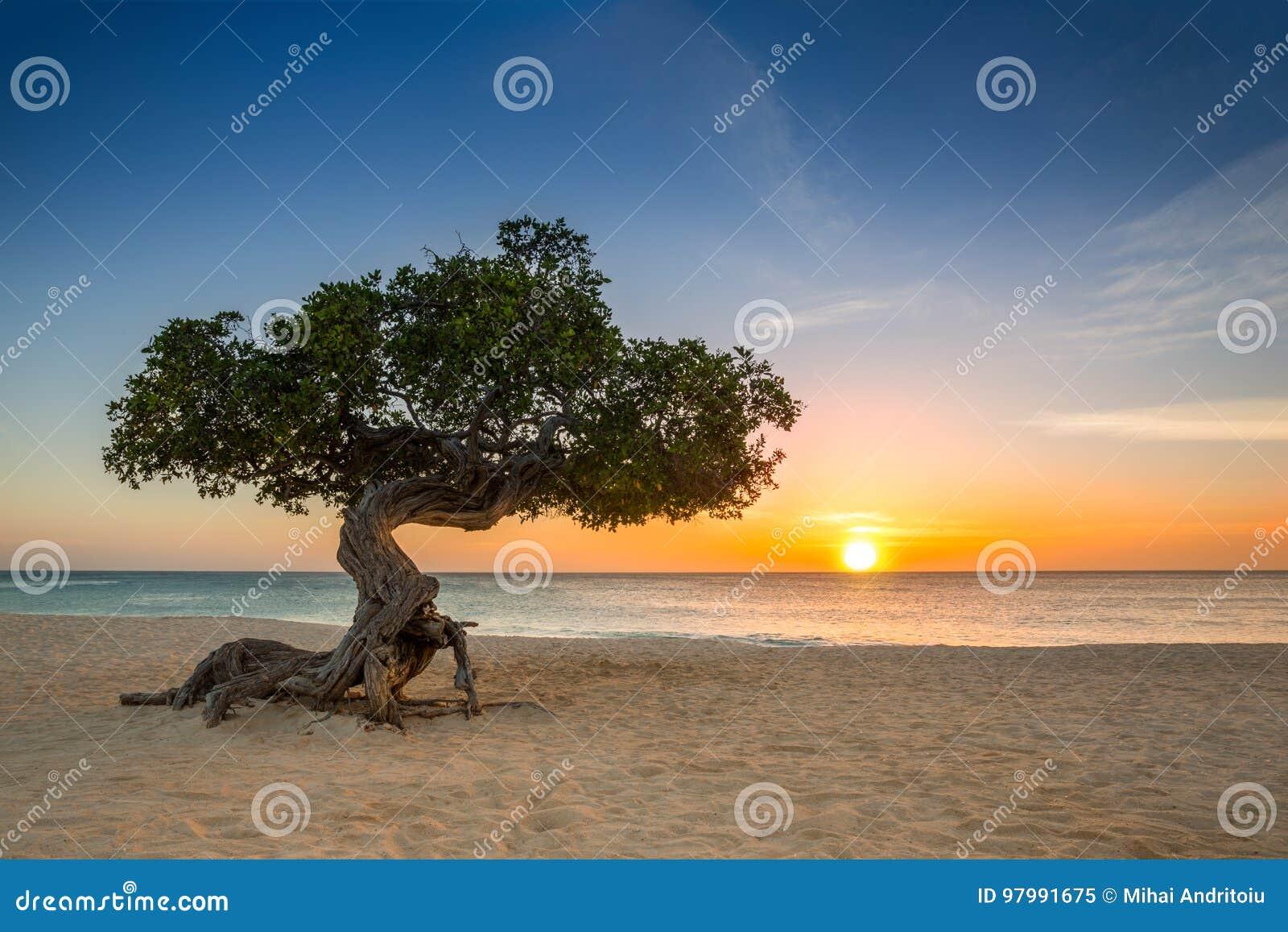 Дерево Divi-divi в Аруба