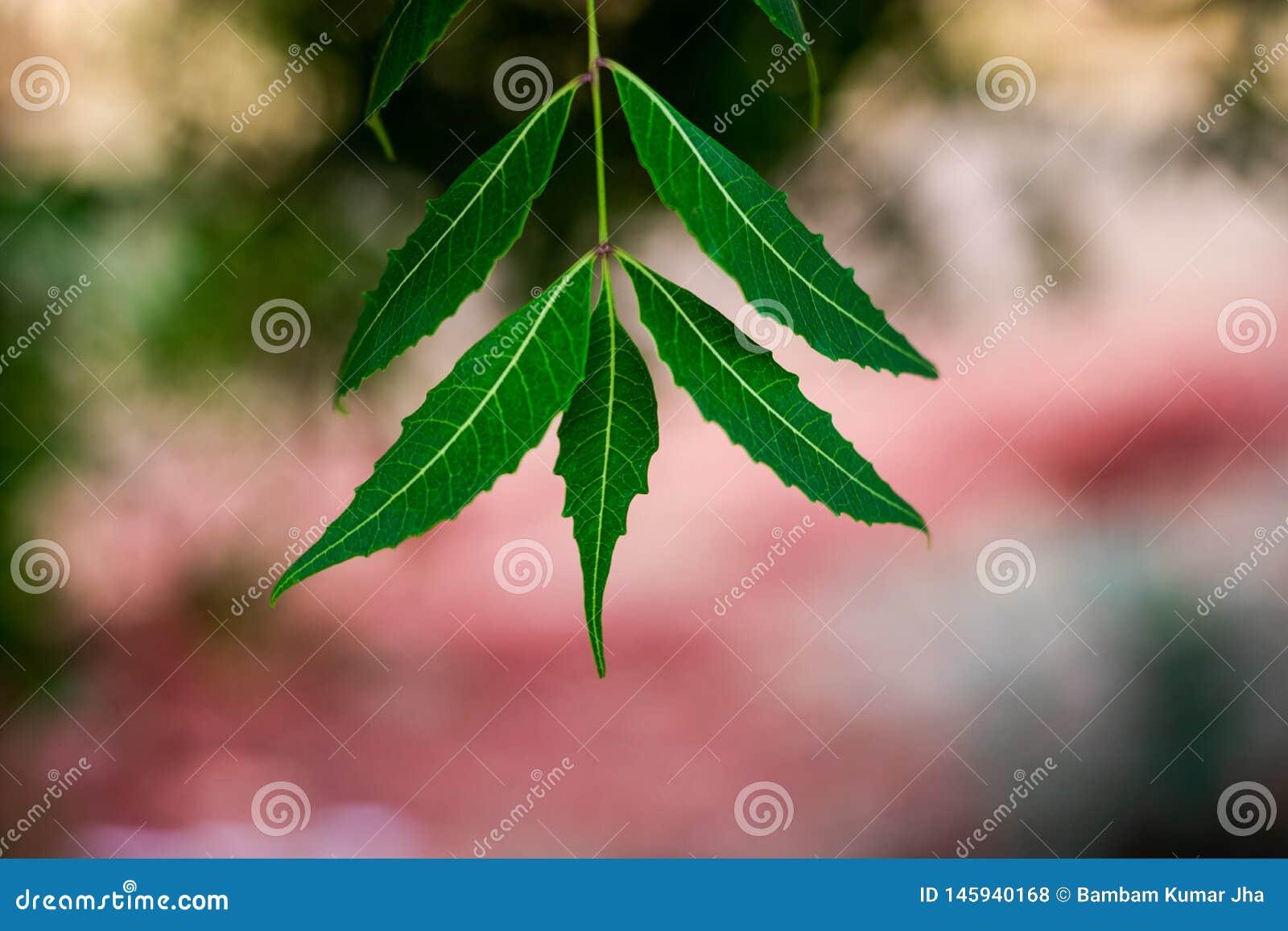Дерево Neem или лист Azadirachta indica с blured предпосылкой
