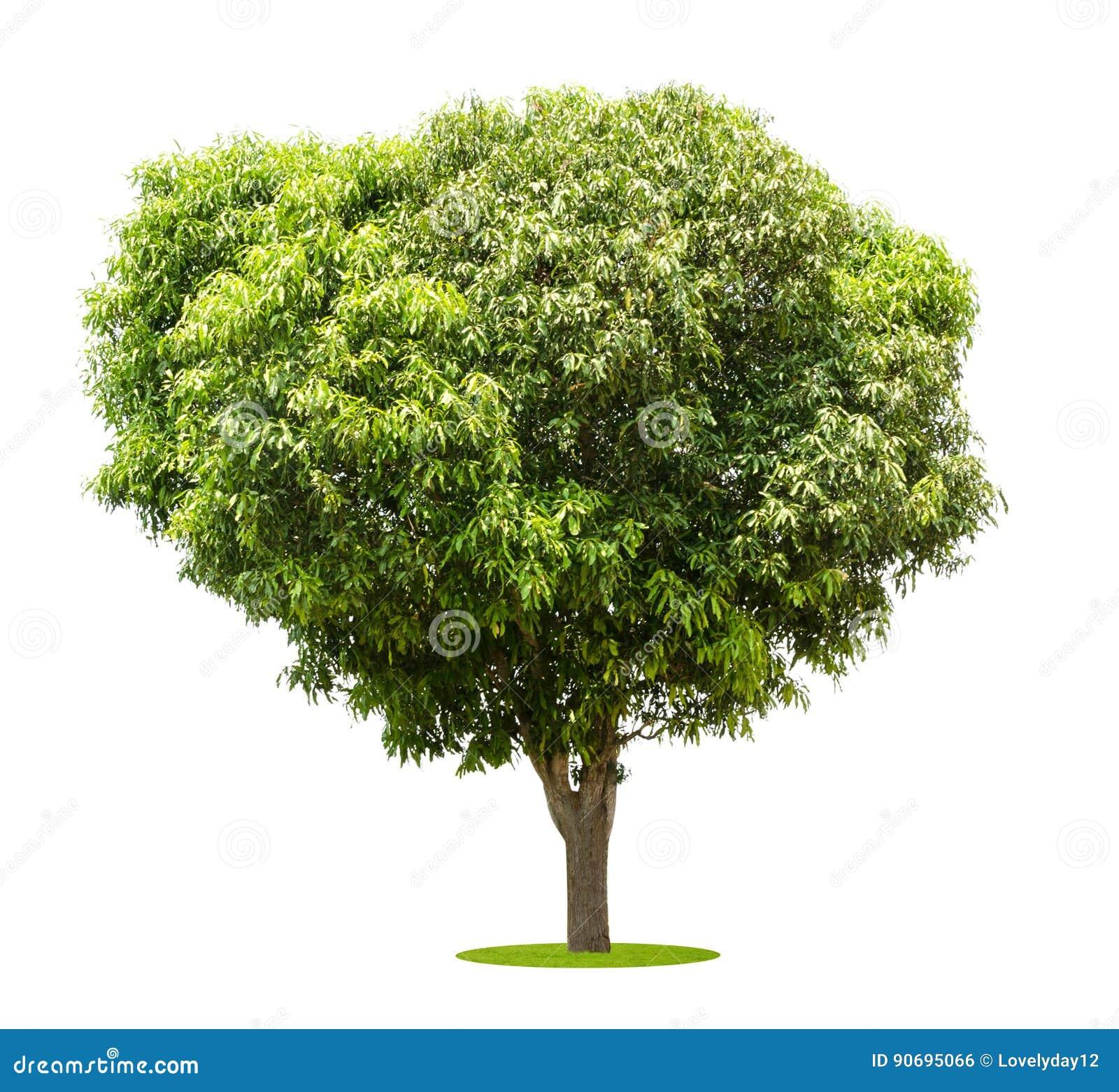 Деревы манго изолированные на белизне