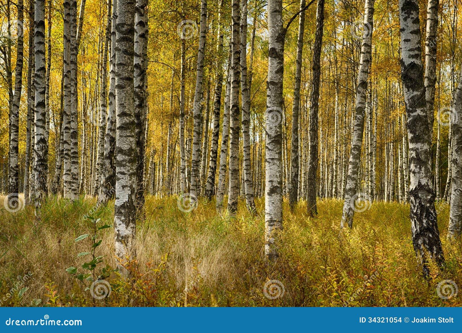 Деревья березы в падении
