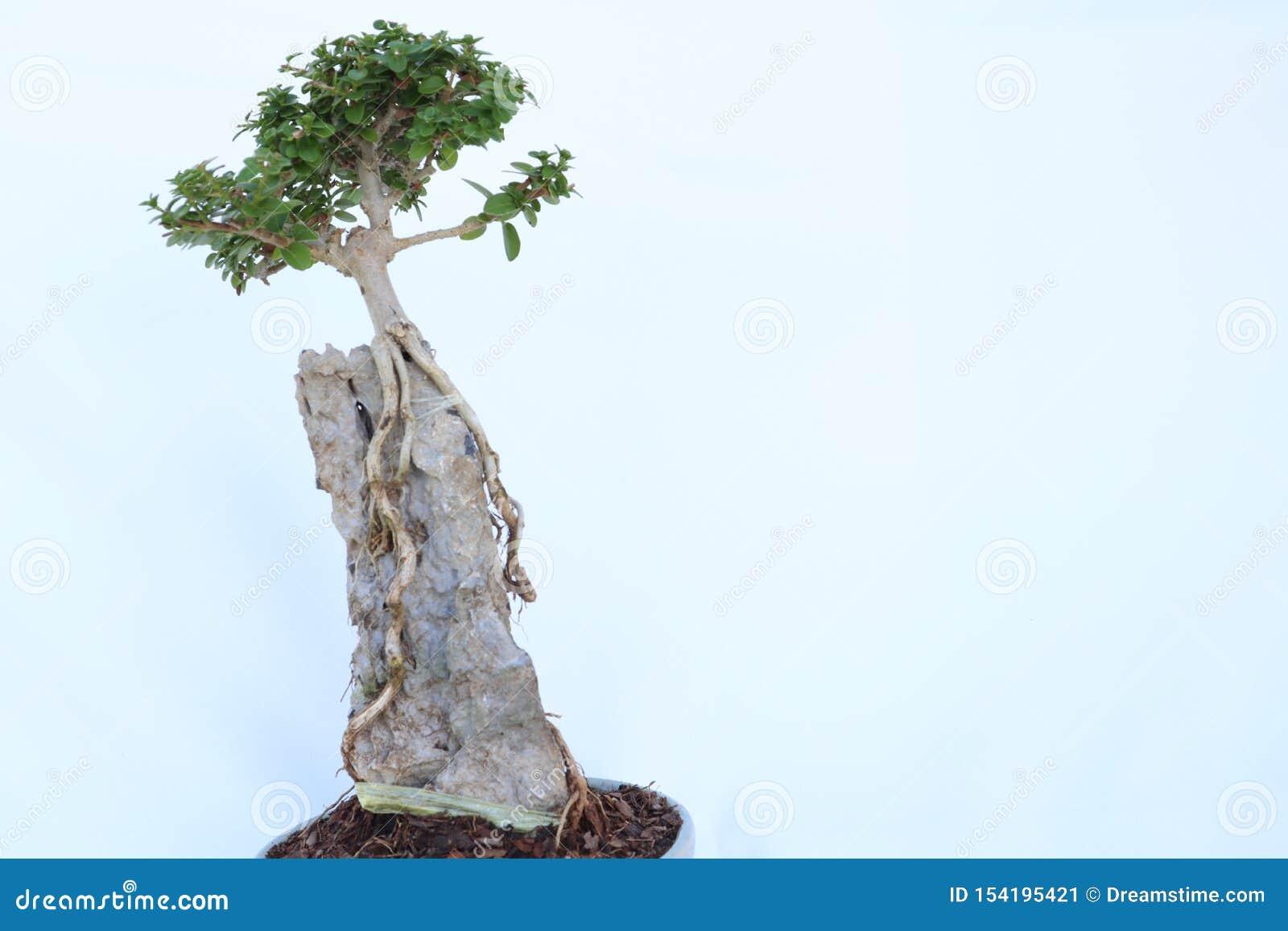 Деревья бонзаев имеют длинные корни на утесах в небольших баках Сымитируйте природу в большом лесе