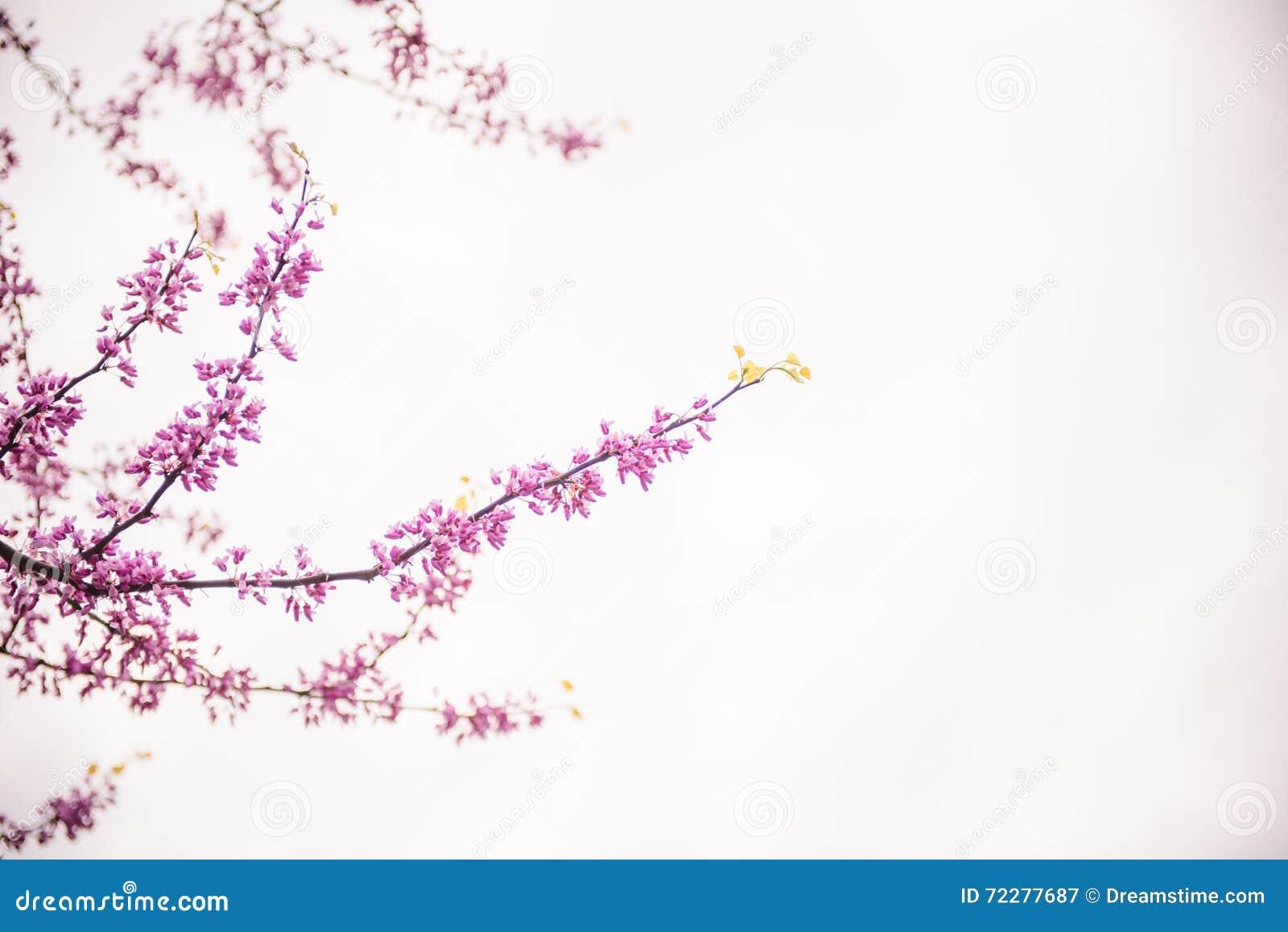 Download Деревья вишневого цвета стоковое изображение. изображение насчитывающей бобра - 72277687