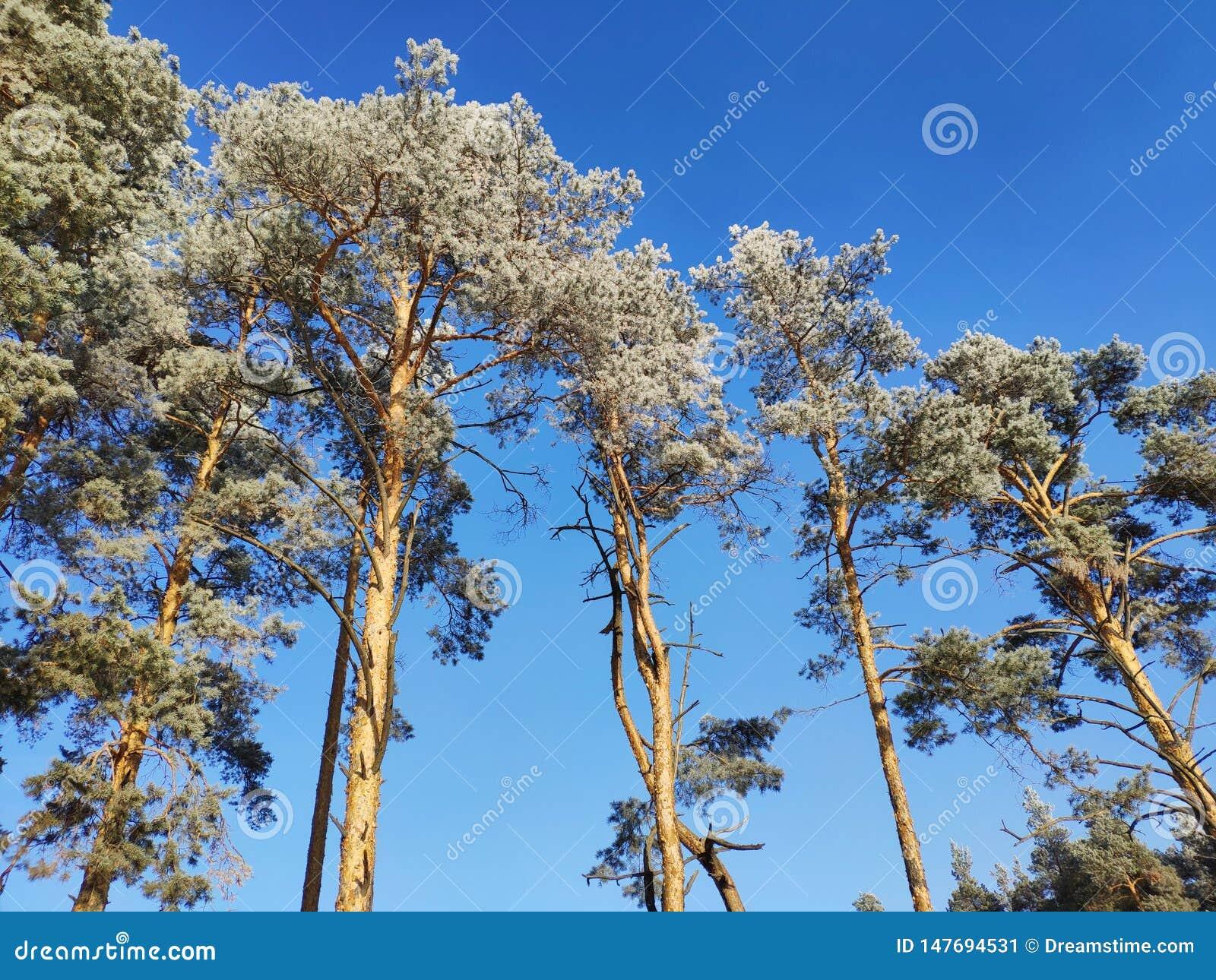 Деревья в изморози