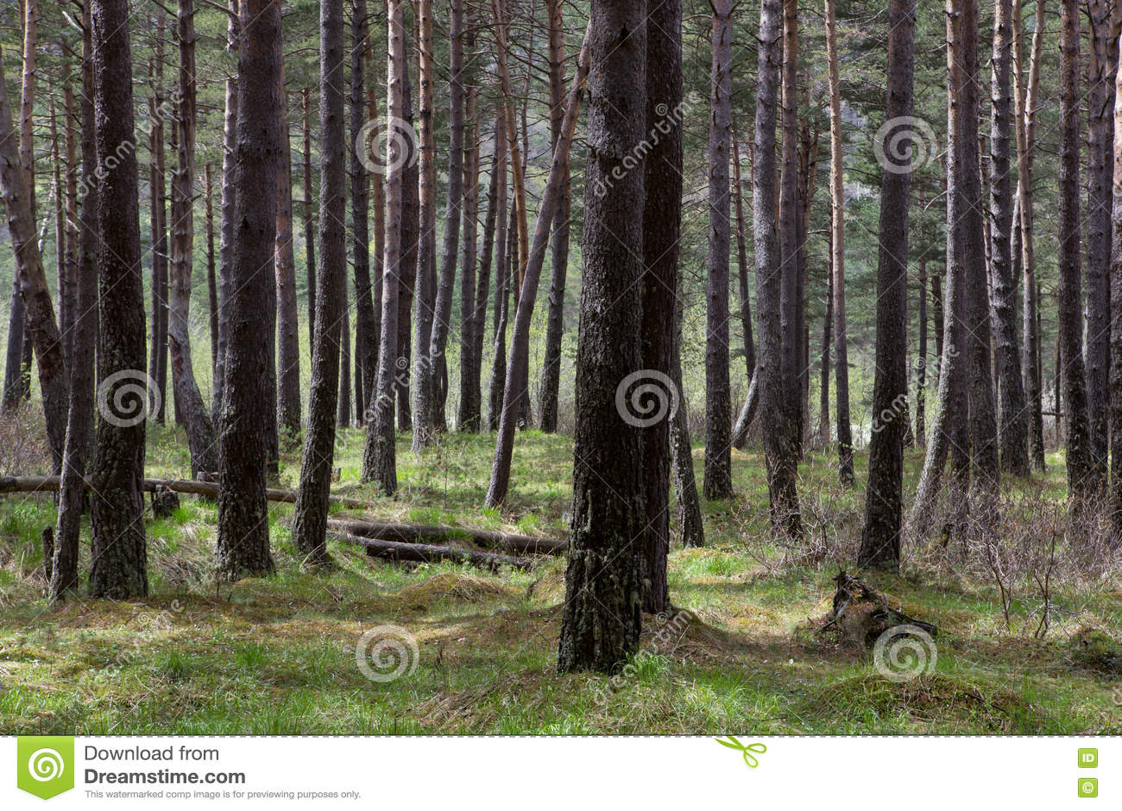 Деревья в плотном сосновом лесе