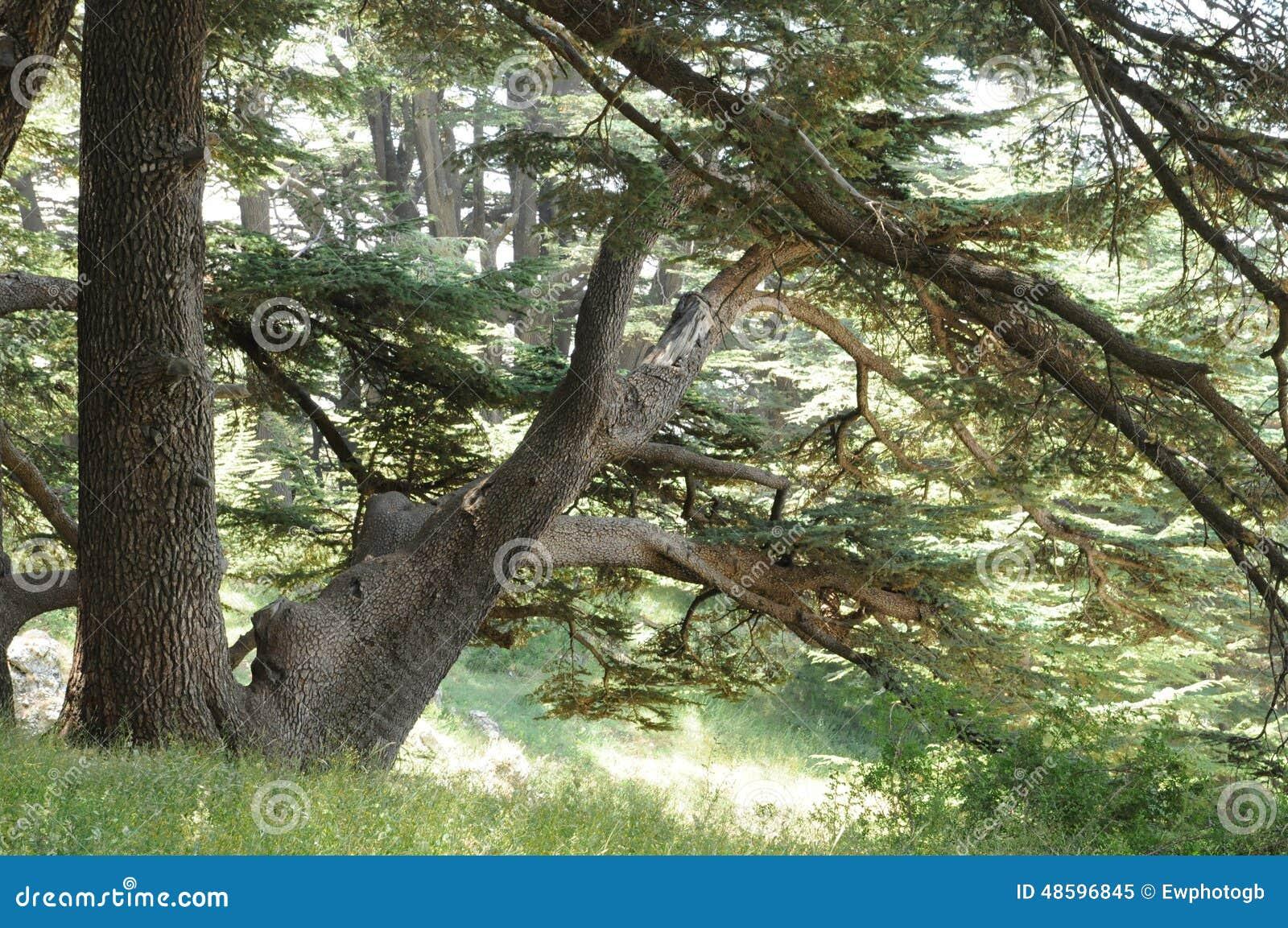 Деревья кедра