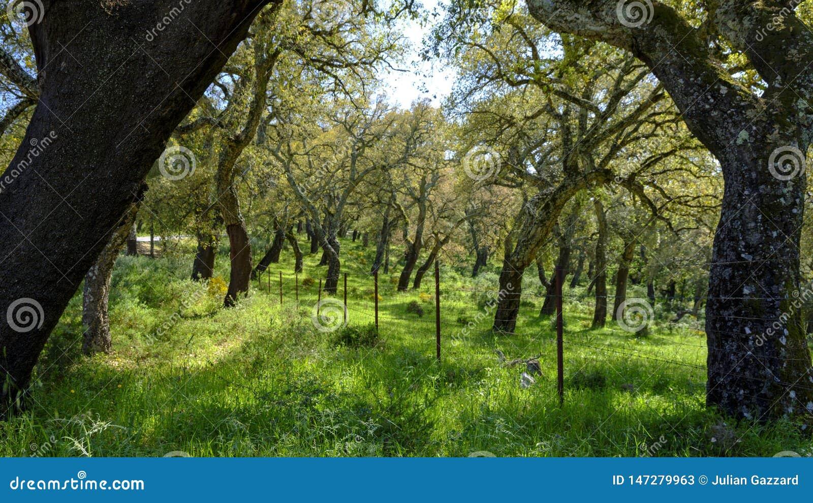 Деревья пробочек Андалусии, Испании