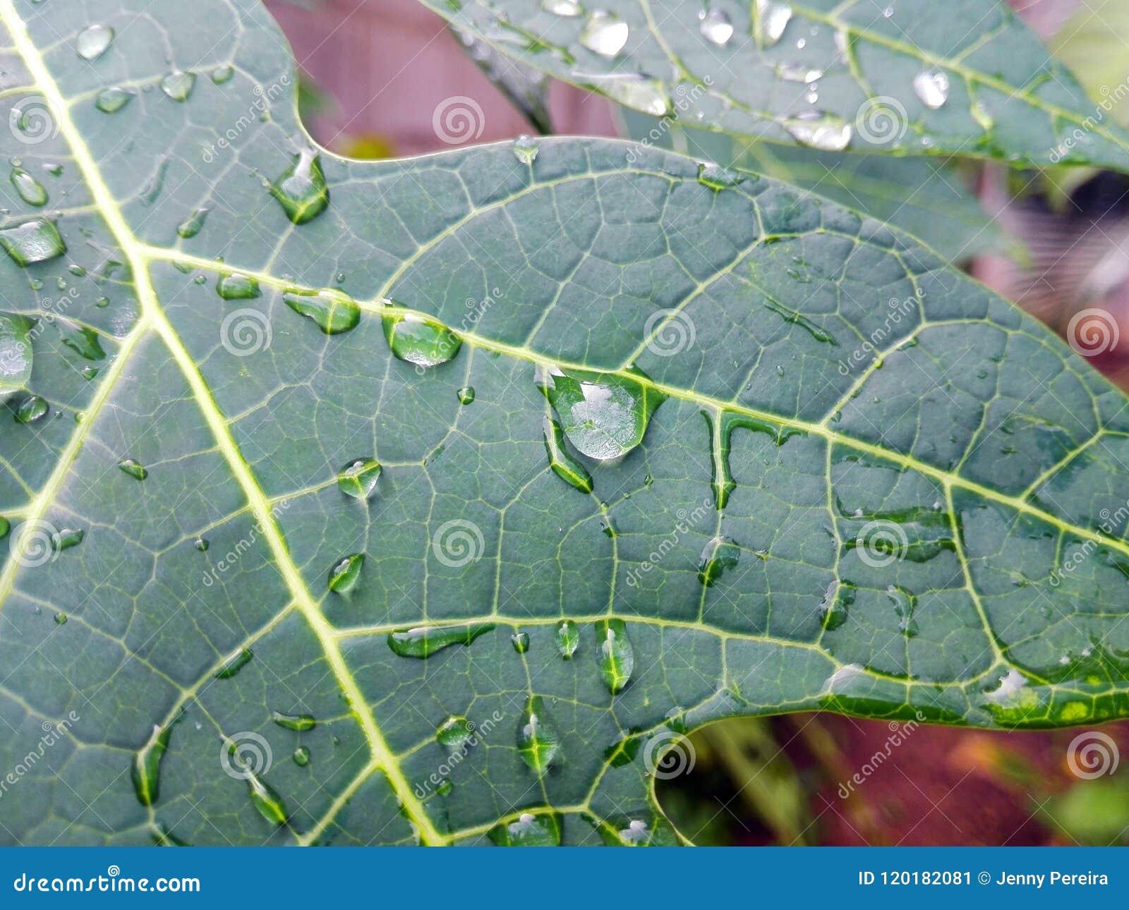 деталь воды падает на часть лист папапайи