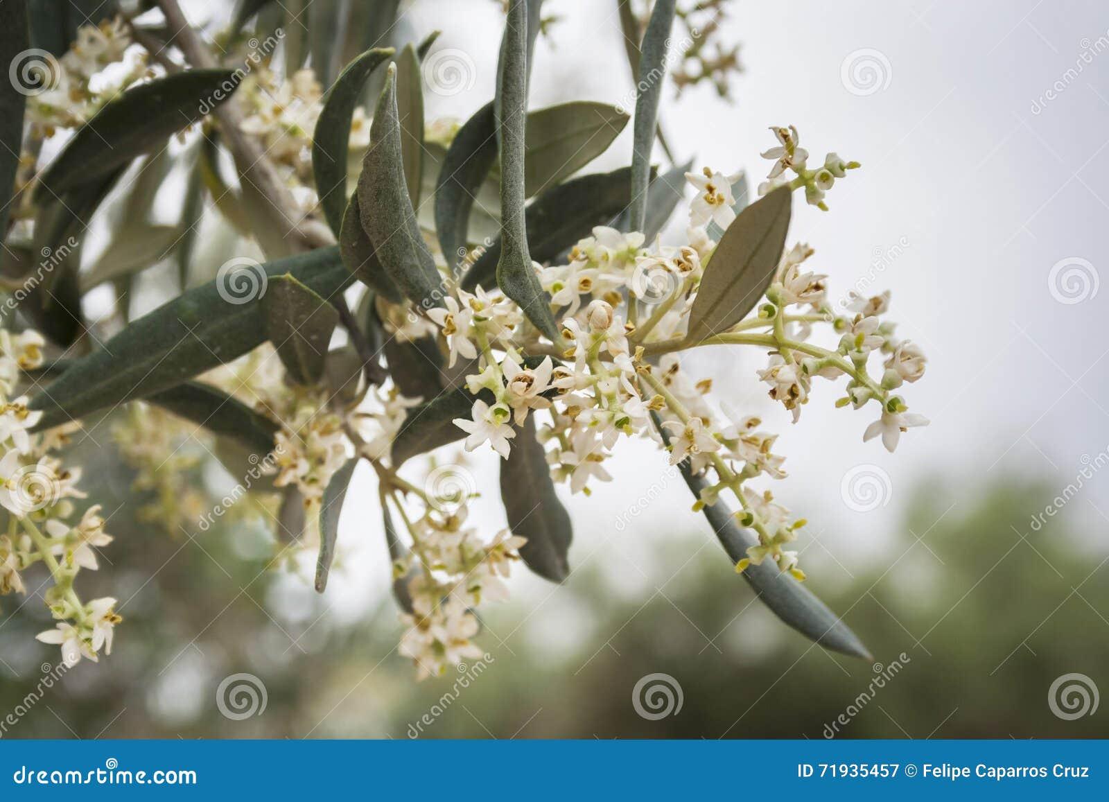 Деталь ветви оливкового дерева в цвести во время весны