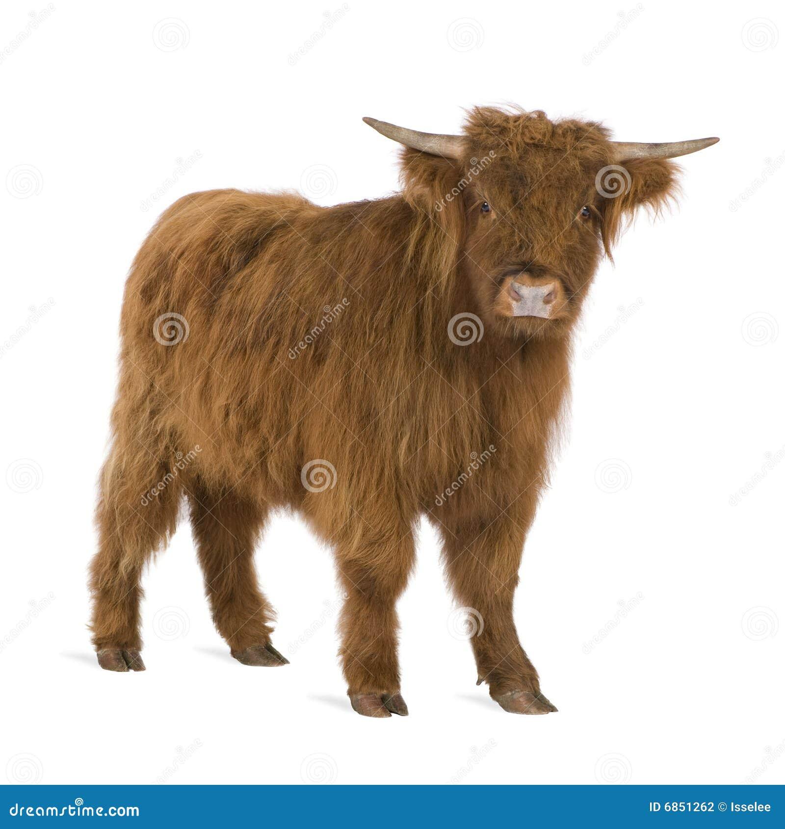 детеныши гористой местности коровы
