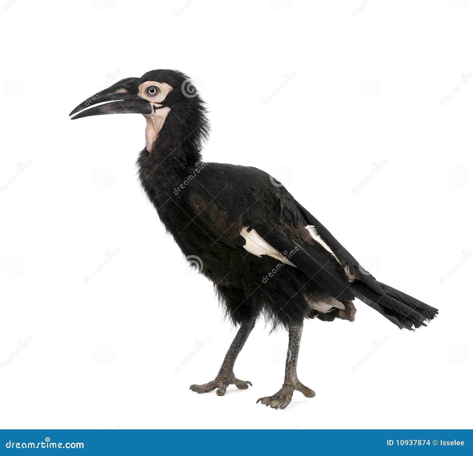 детеныши земного hornbill южные