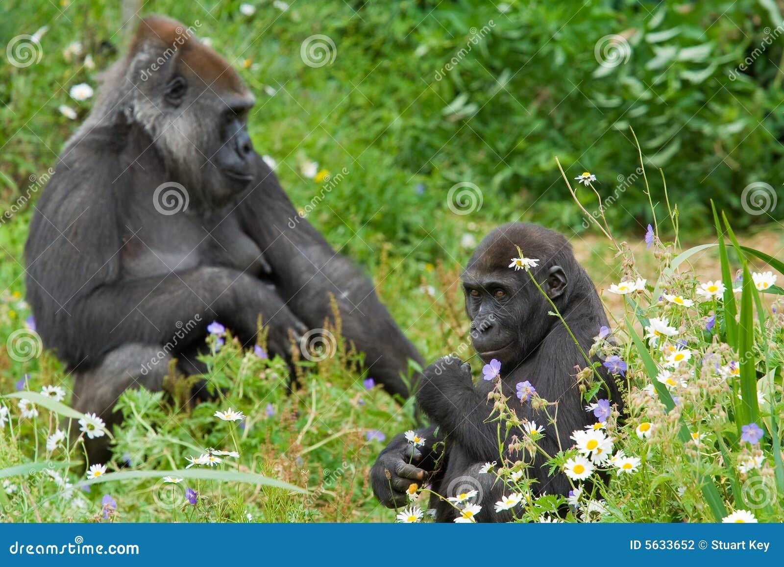 детеныши мати гориллы