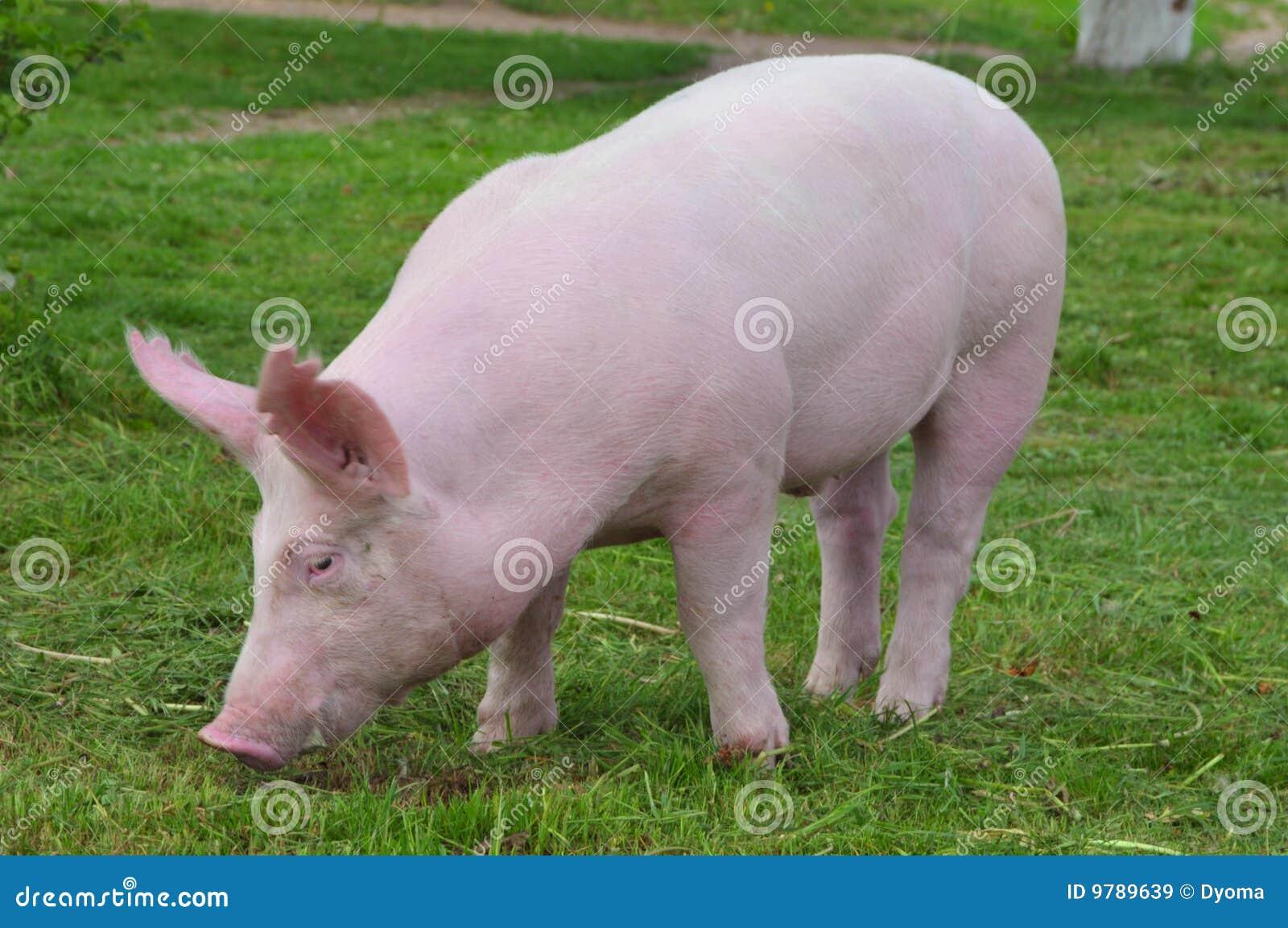 детеныши свиньи