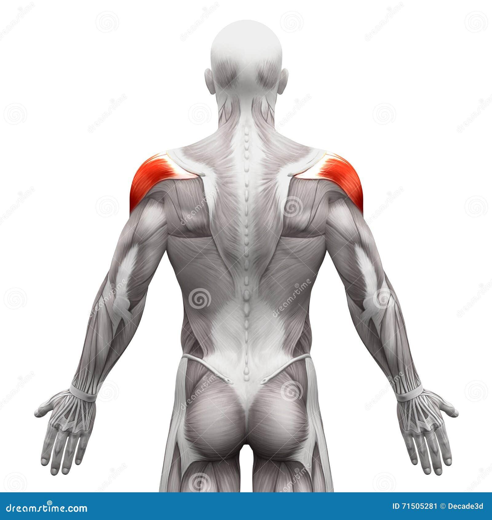 Дельтовидная мышца - мышцы анатомии изолированные на бело- illustra 3D