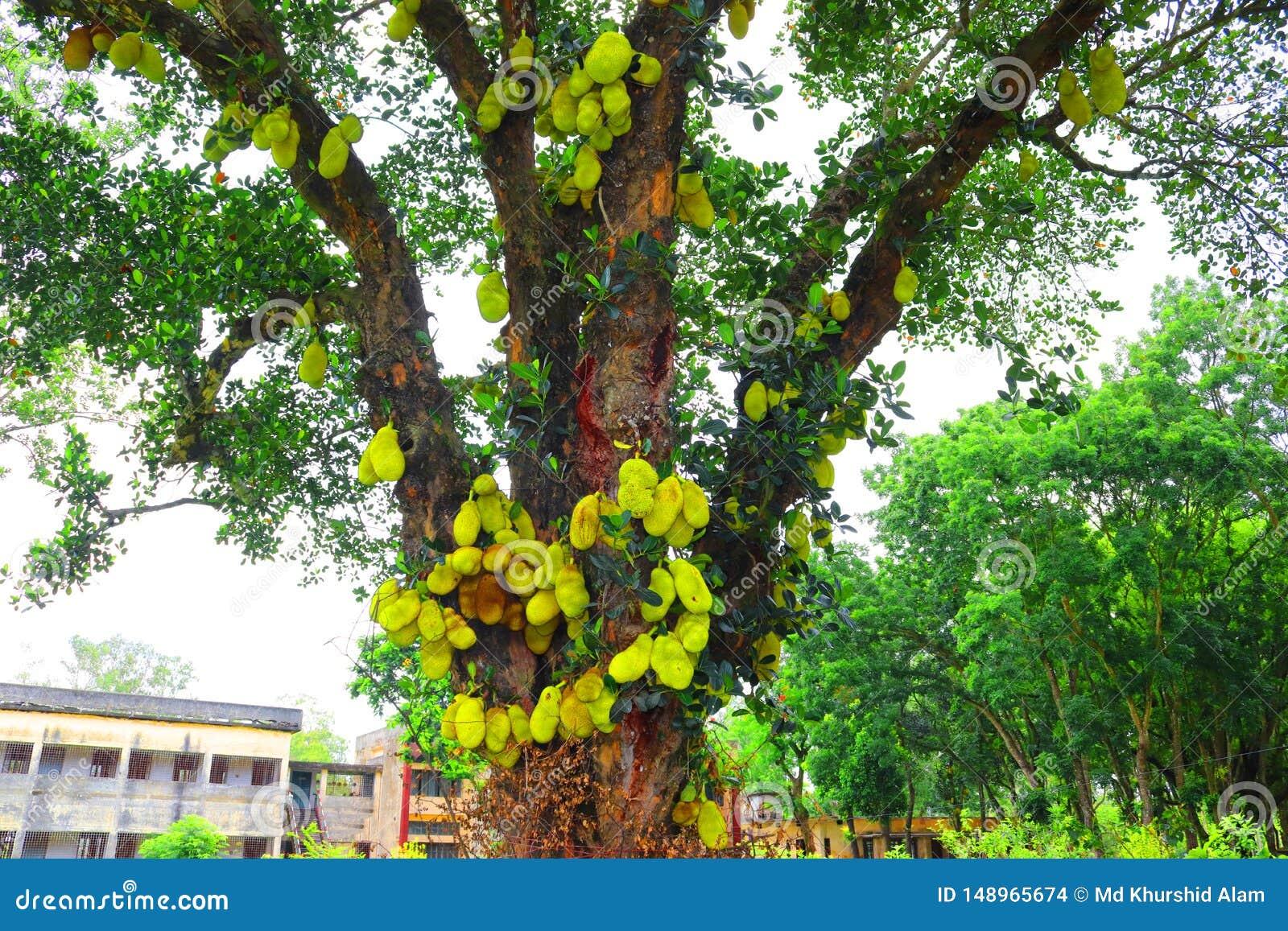 Джекфрут на дереве Огромный поднимите плод домкратом gowing в дереве джекфрут приносит плоды лист зеленого цвета сада свежего кру