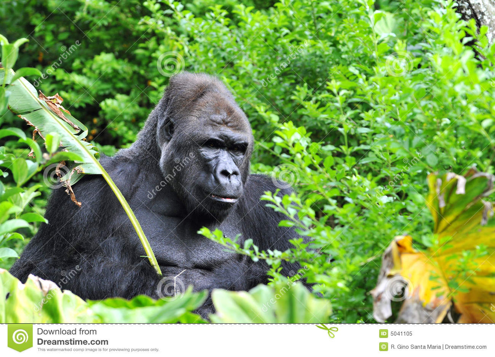джунгли гориллы hidding