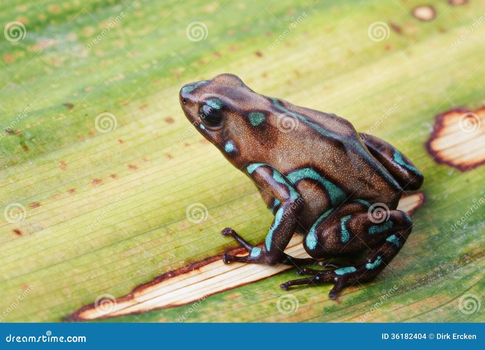 Джунгли Панамы лягушки стрелки отравы тропические