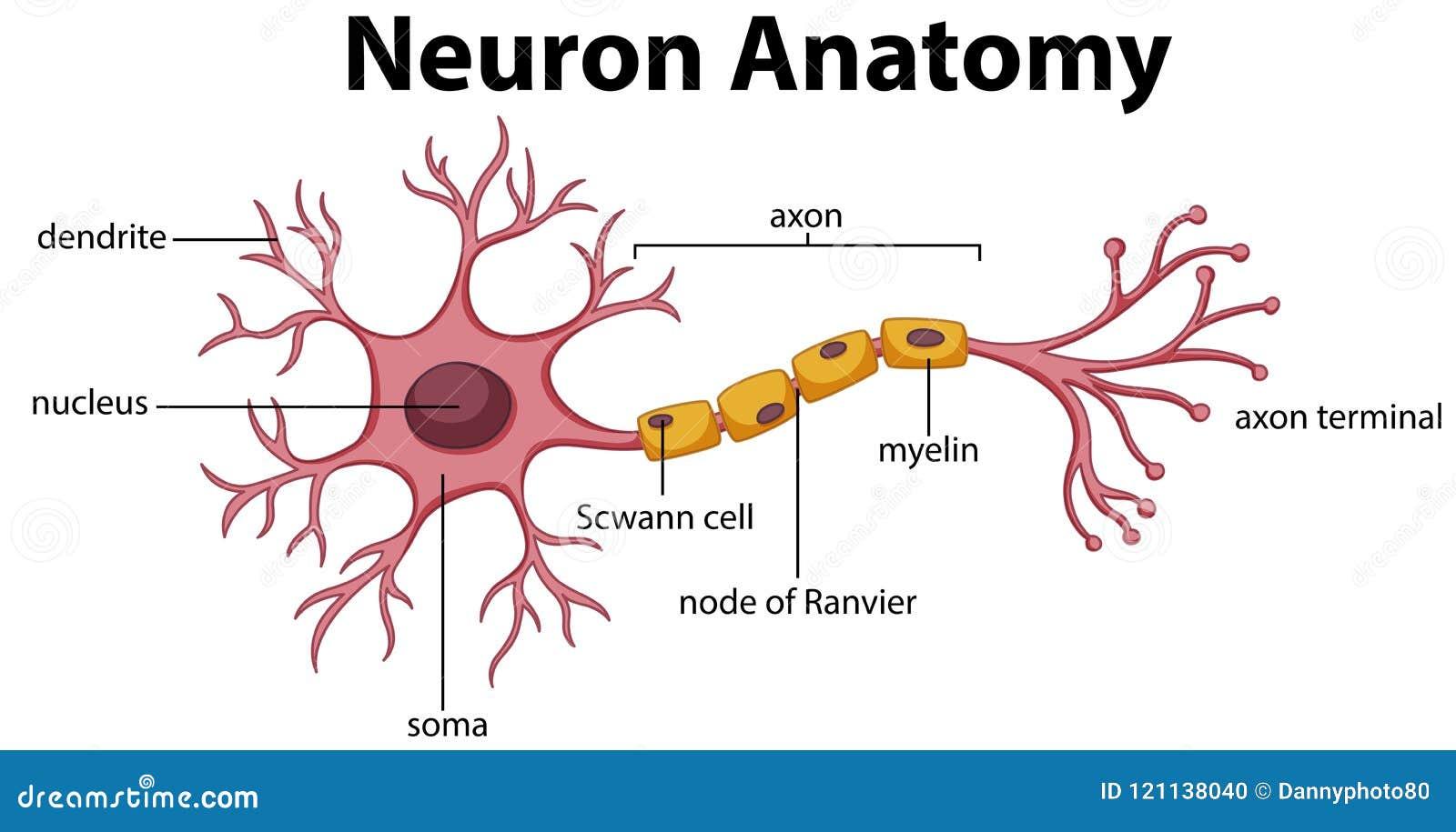 Диаграмма анатомии нейрона