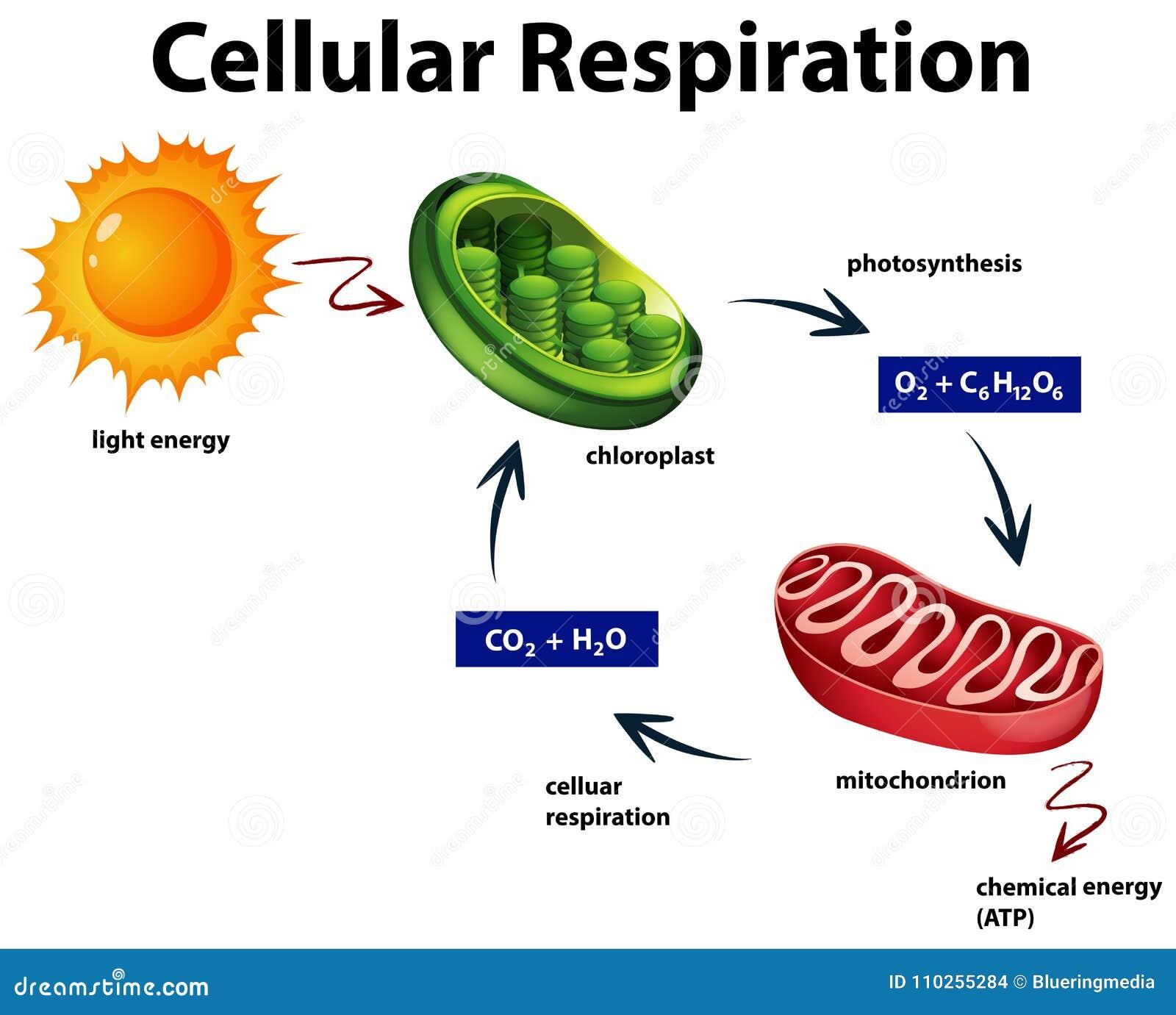 Диаграмма показывая клетчатое дыхание