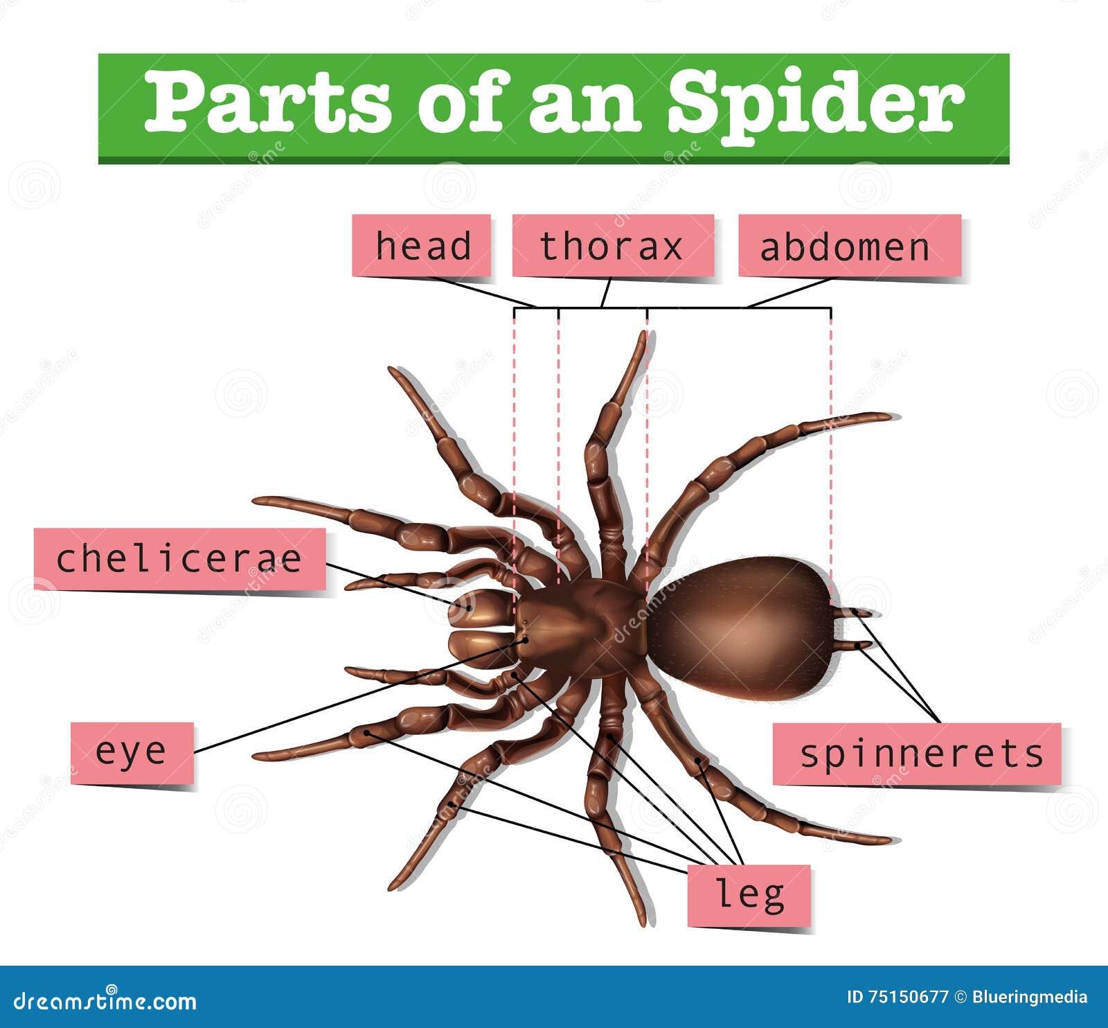 Диаграмма показывая части паука