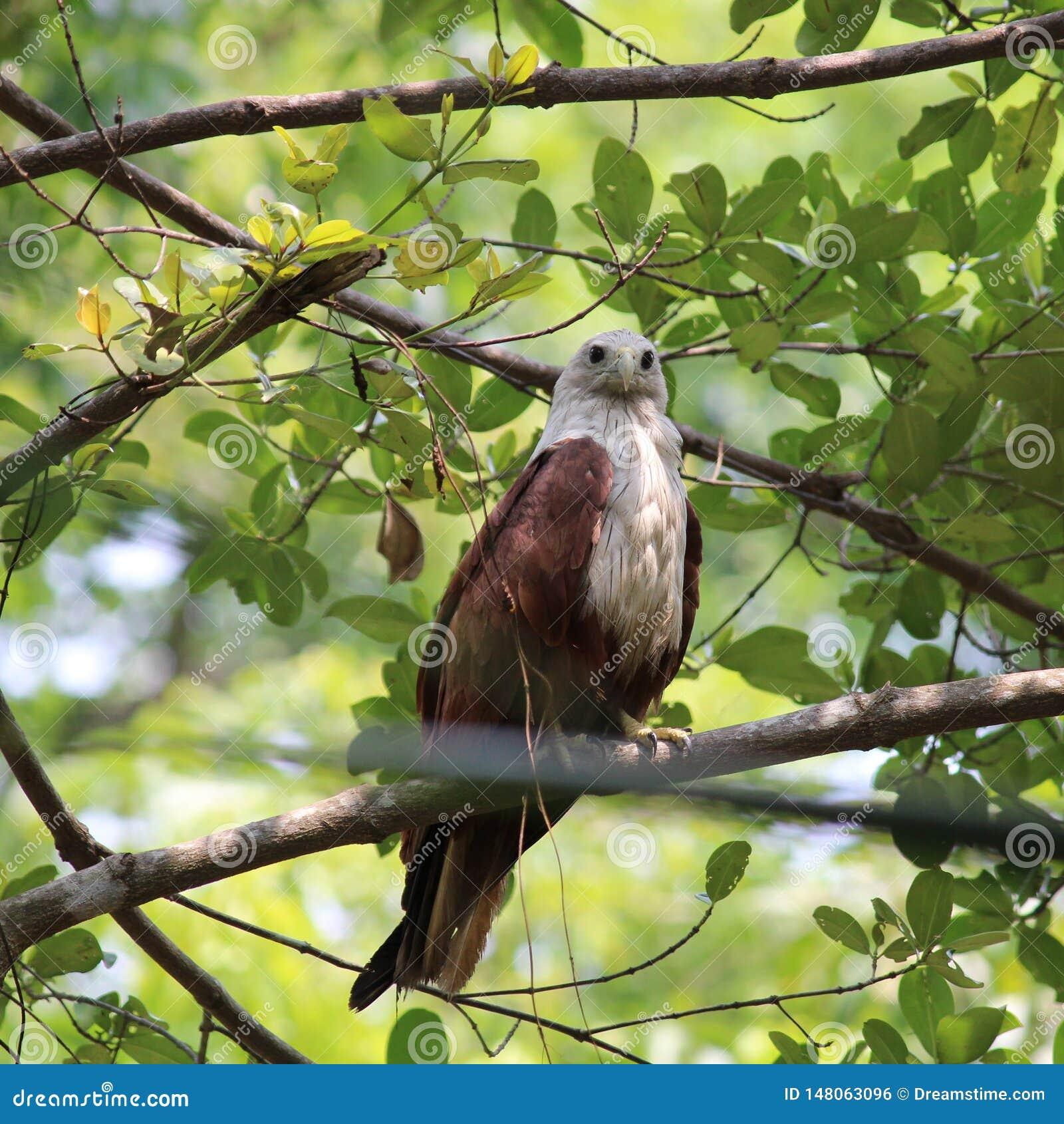 Диез и сигнал тревоги орла
