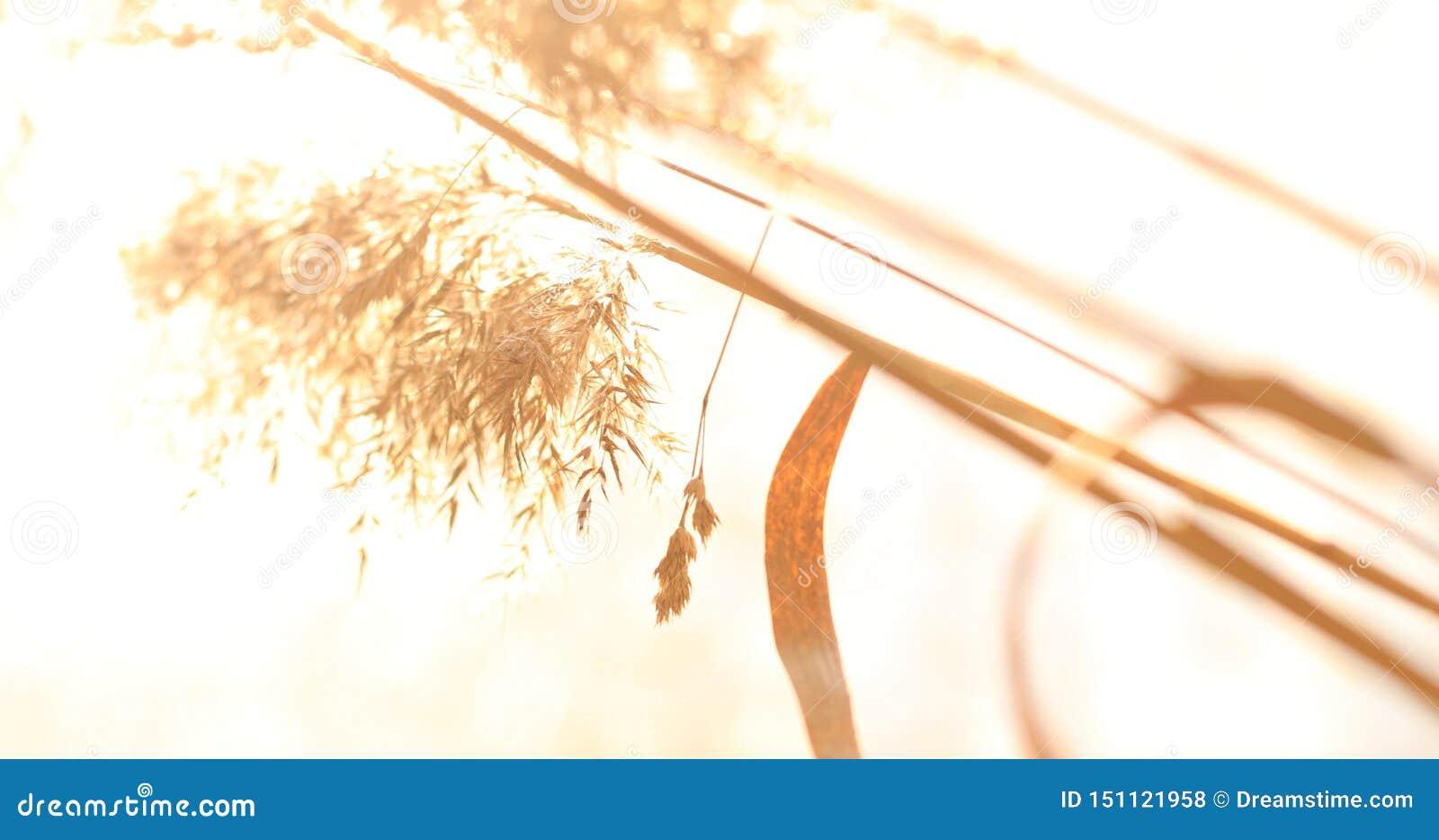Дикая трава с колосками ровно отбрасывая в ветре, заводах лета