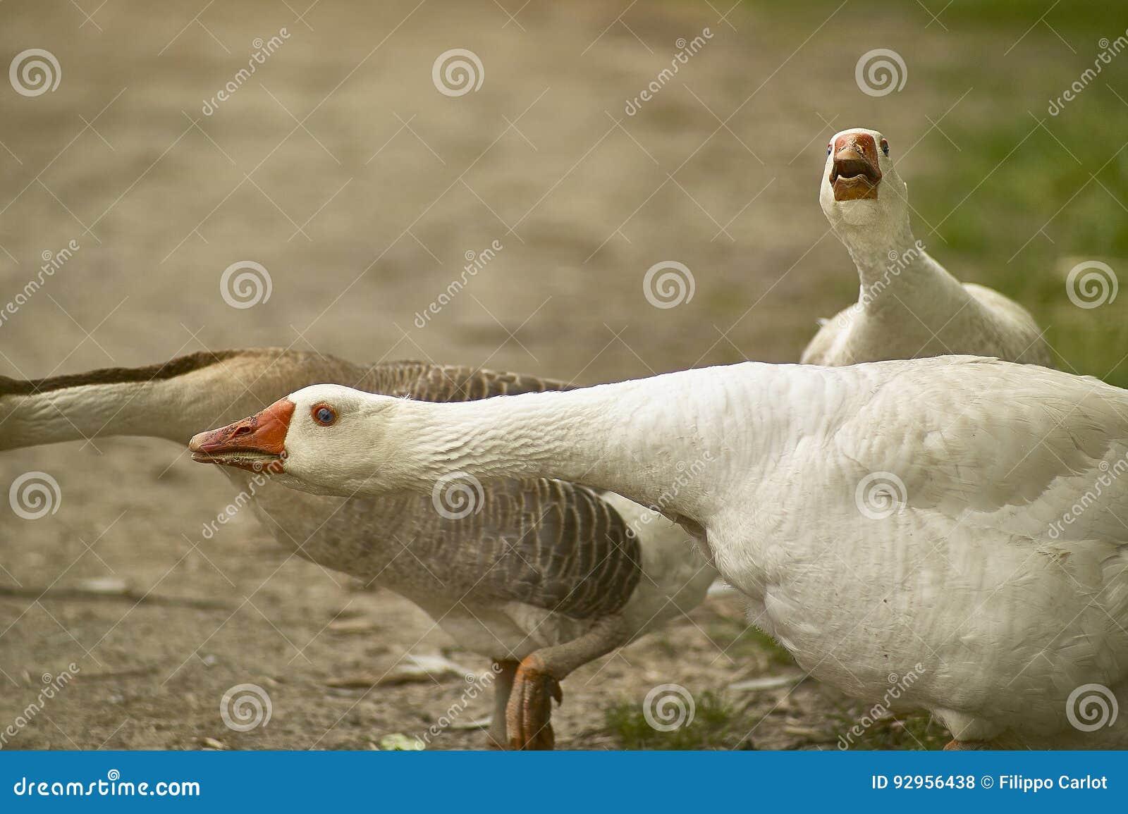 Дикая утка
