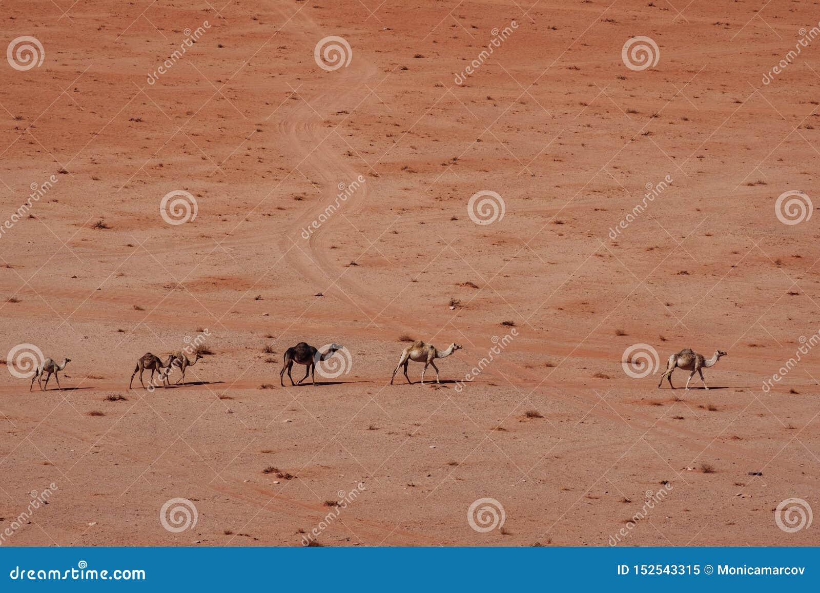 Дикие верблюды в пустыне Пустыня рома вадей