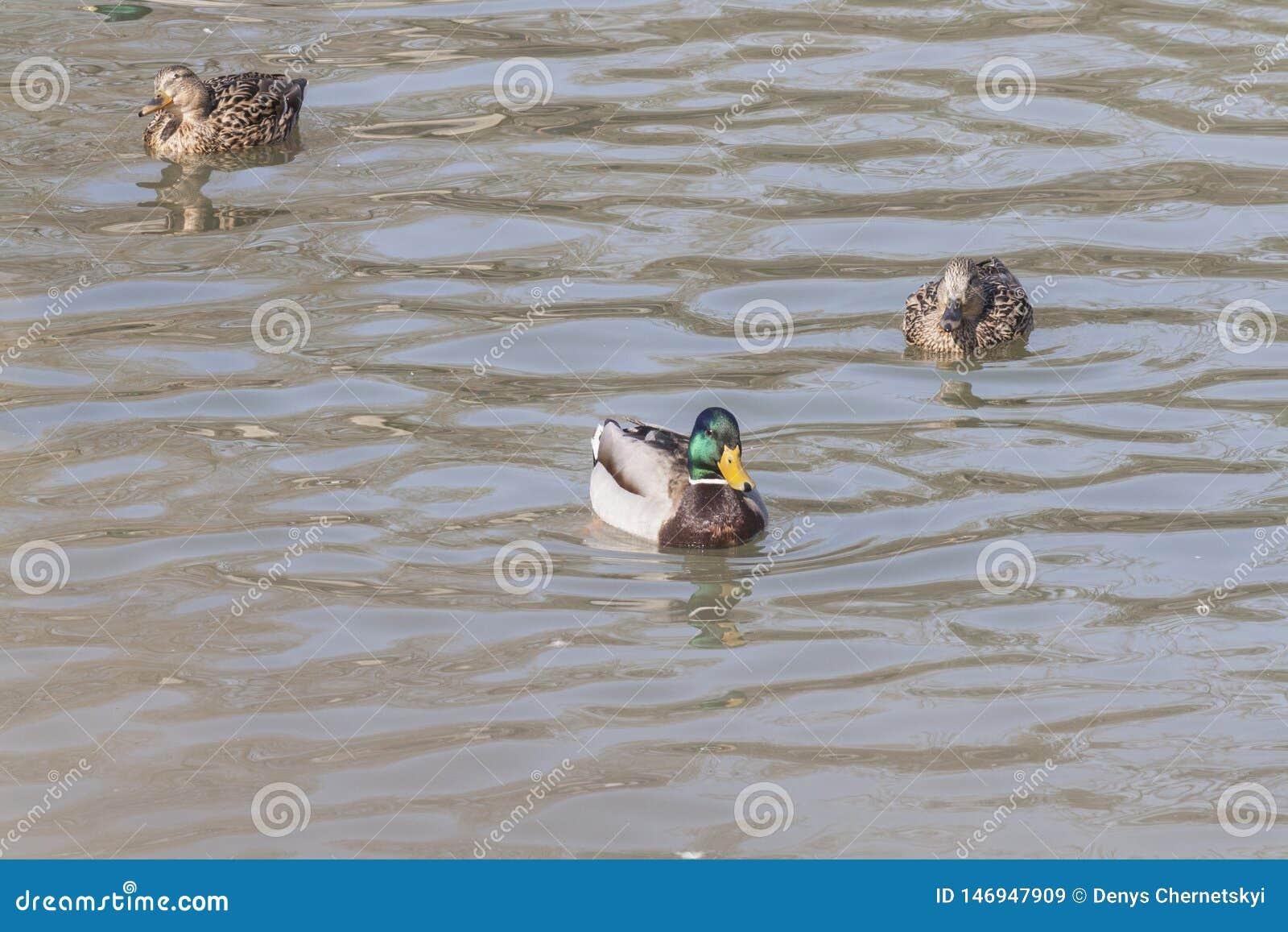 Дикие утки плавают в пруде