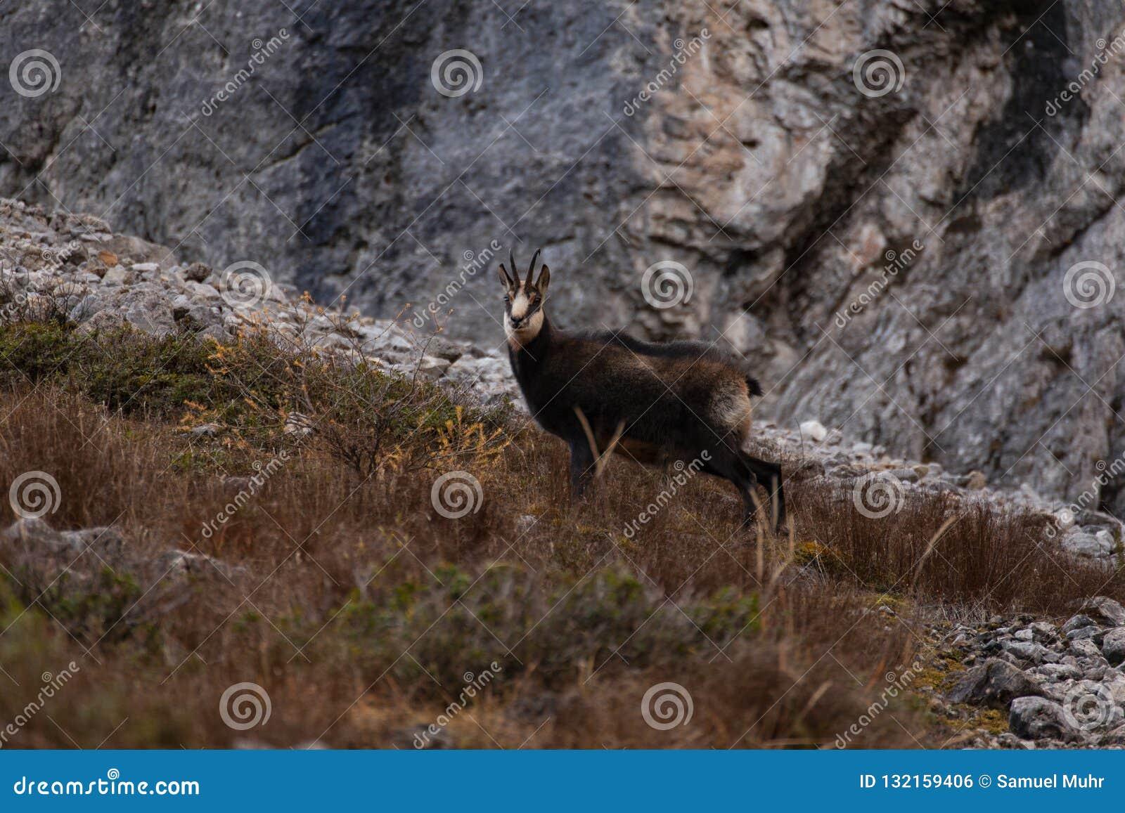 Дикие шамуа/коза горы в Австрии