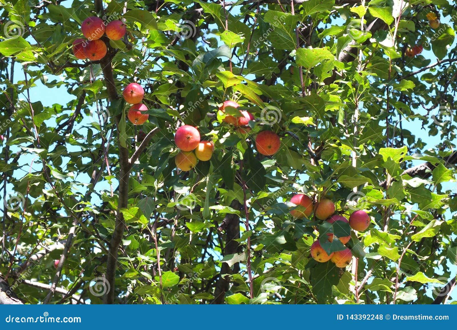 Дикие яблоки, очень кислые