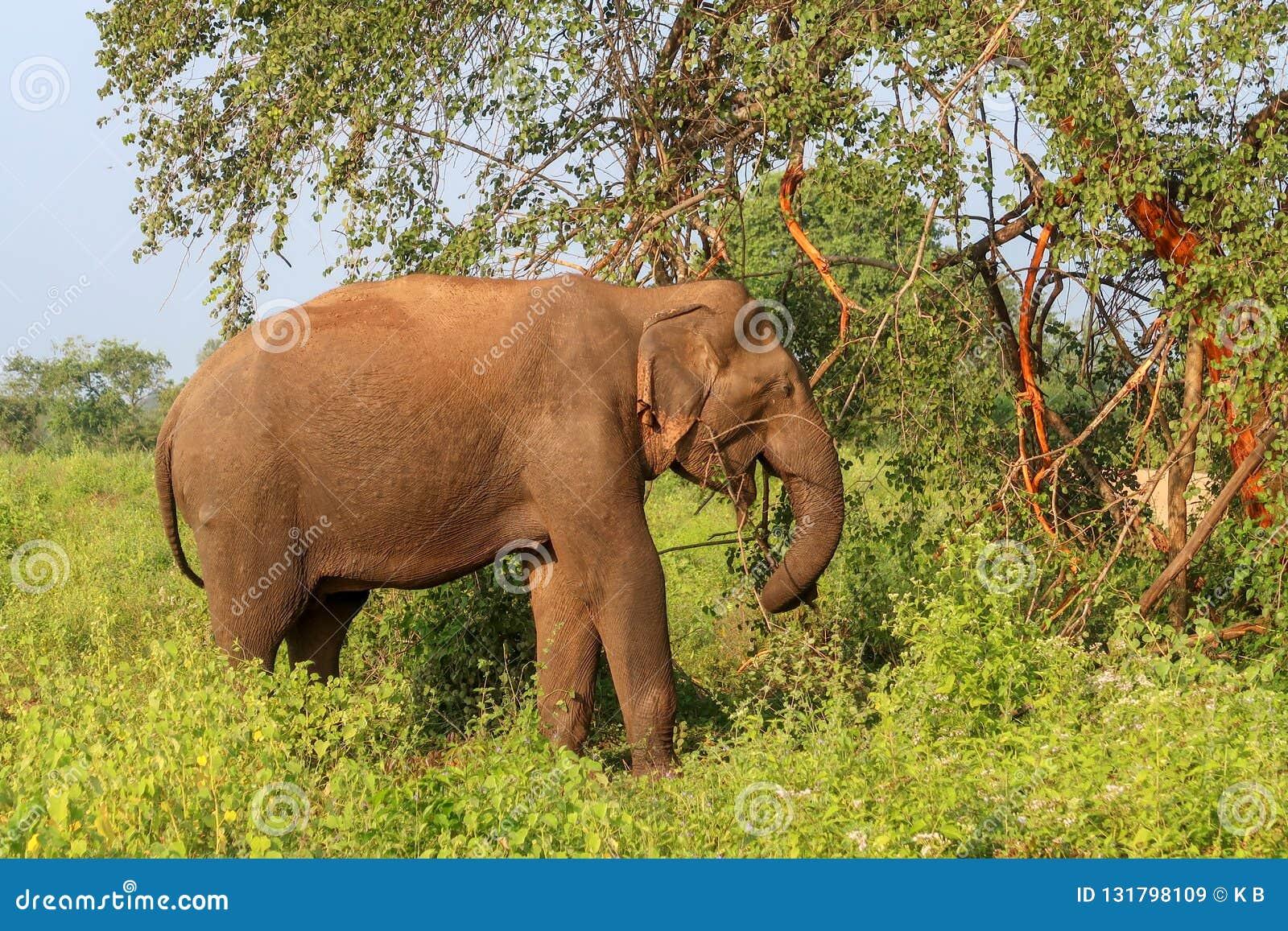 Дикий азиатский слон в Шри-Ланка, сафари национального парка Udawalawe