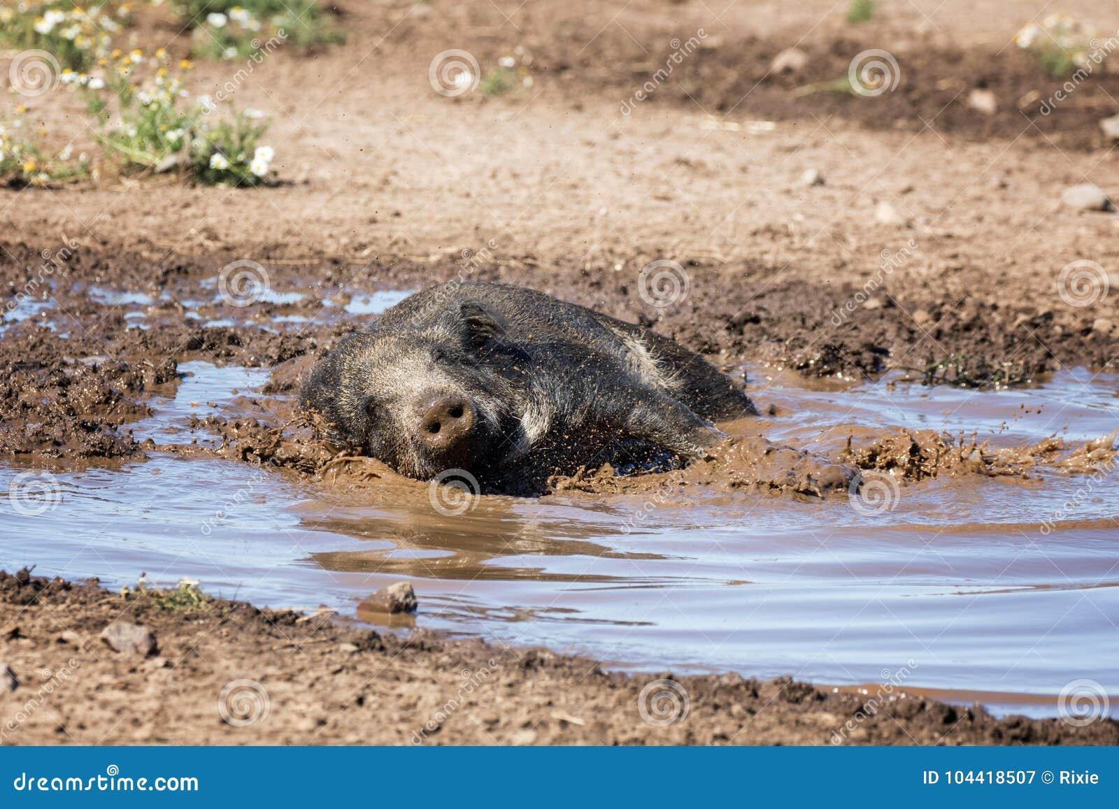 Дикий кабан принимая ванну грязи