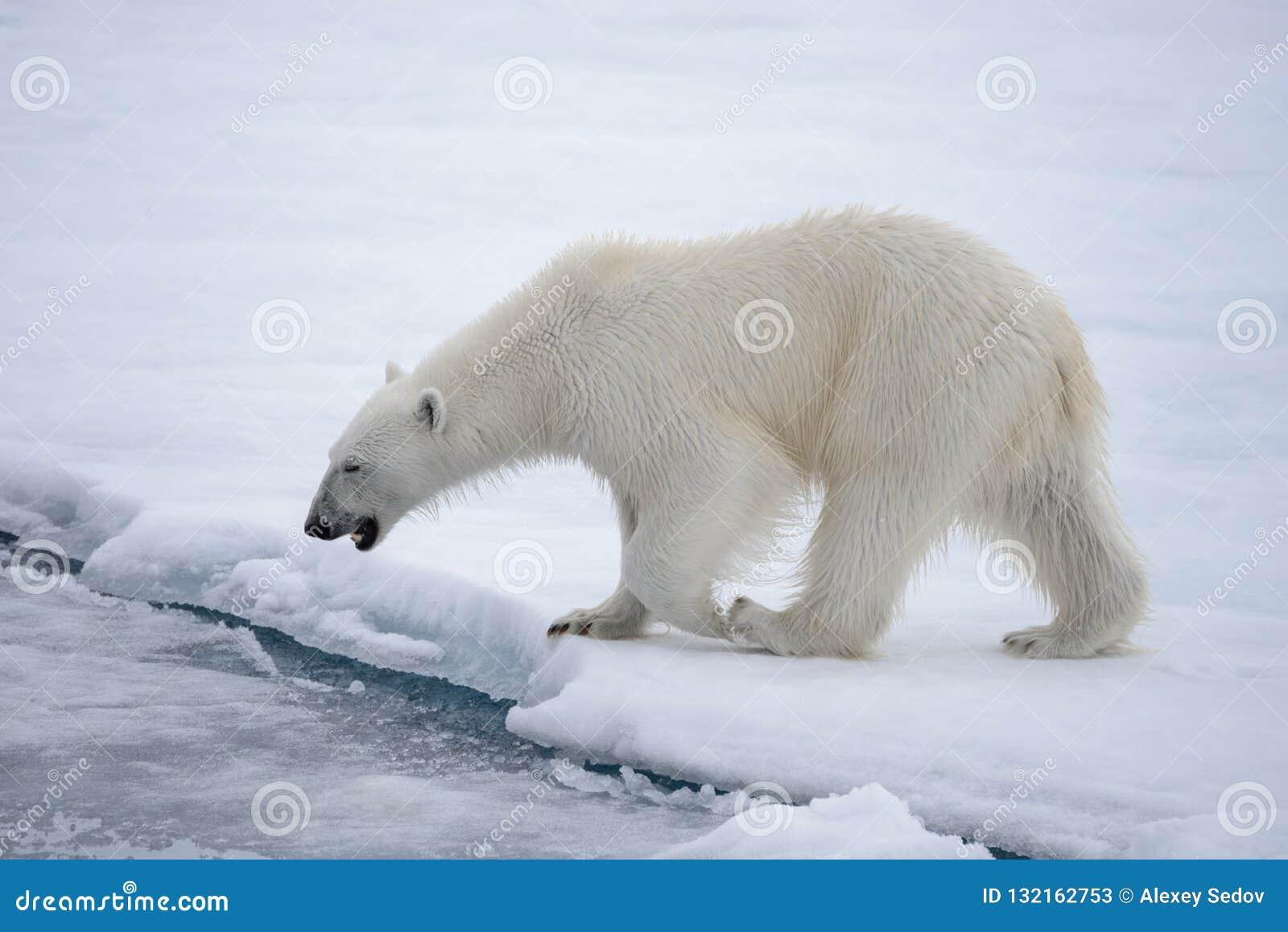 Дикий полярный медведь идя в воду на паковом льде в ледовитом море