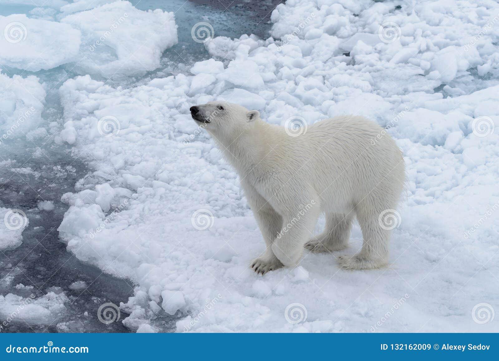 Дикий полярный медведь на паковом льде в ледовитом море