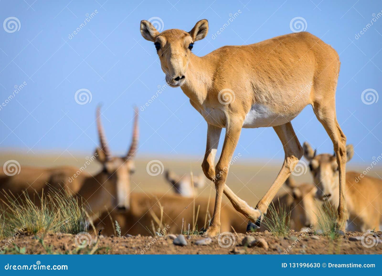 Дикое tatarica saiga антилопы saiga