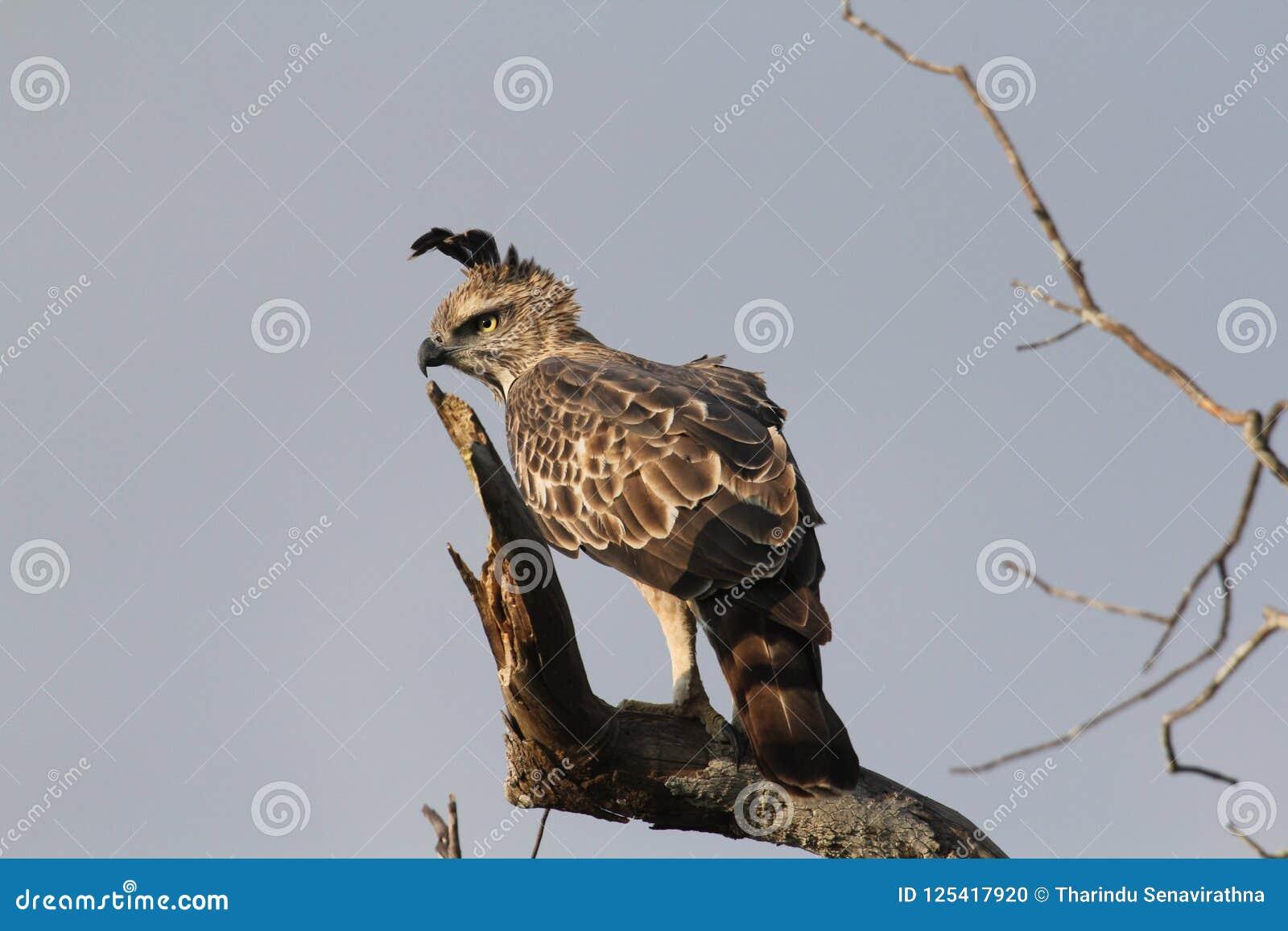 Длинные расстояния, диез наблюдают, цель изображения, Crested орел хоука, длинный чистосердечный гребень, редко витают, квартира