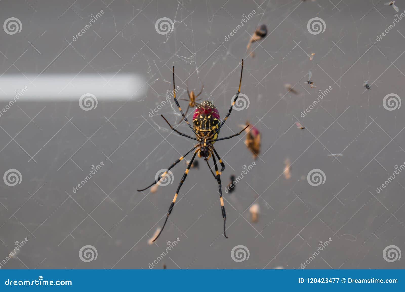 Длинный паук ног на сети паука