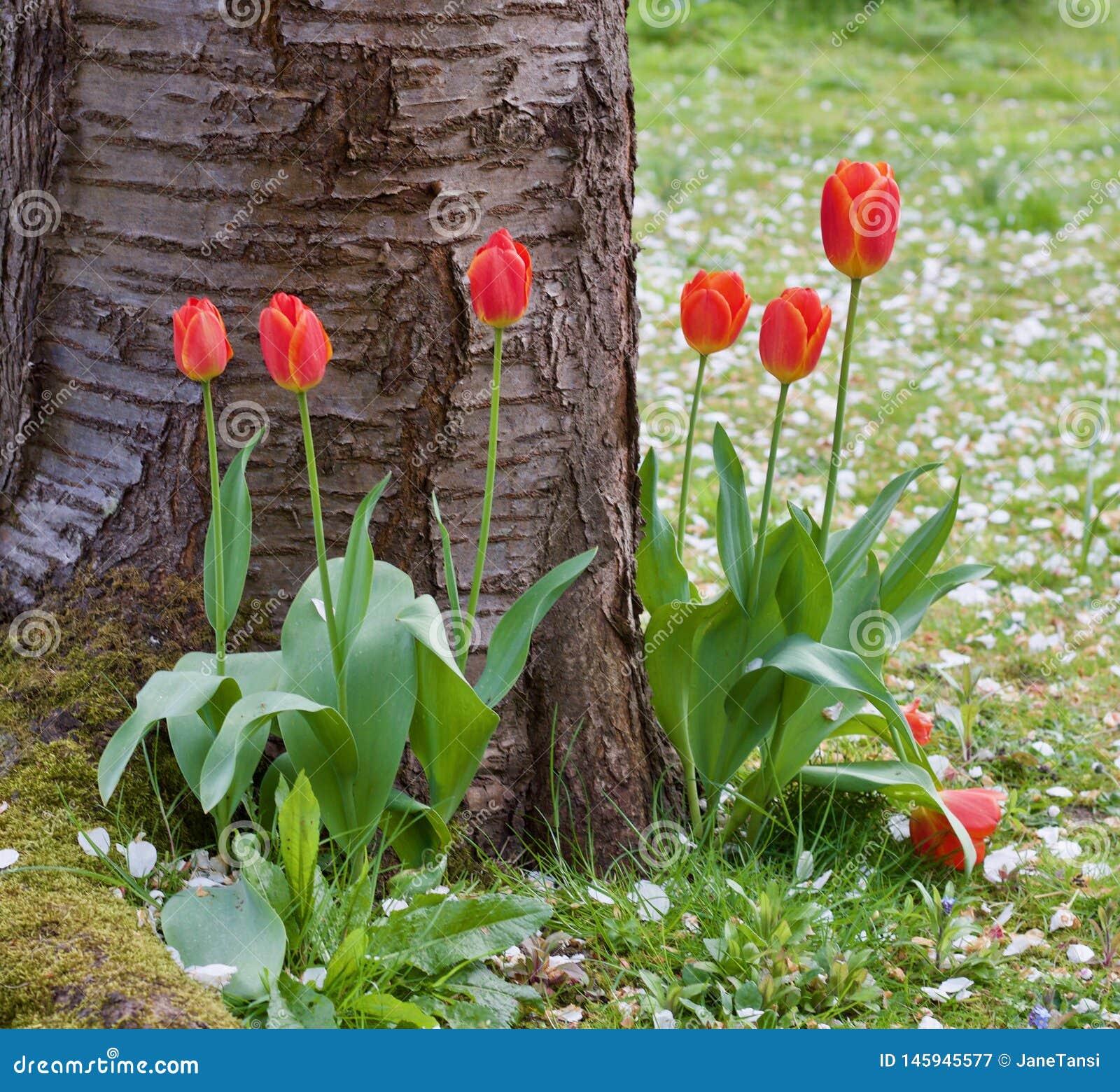 Довольно красные тюльпаны на основании дерева - славной сцене весны - изображение