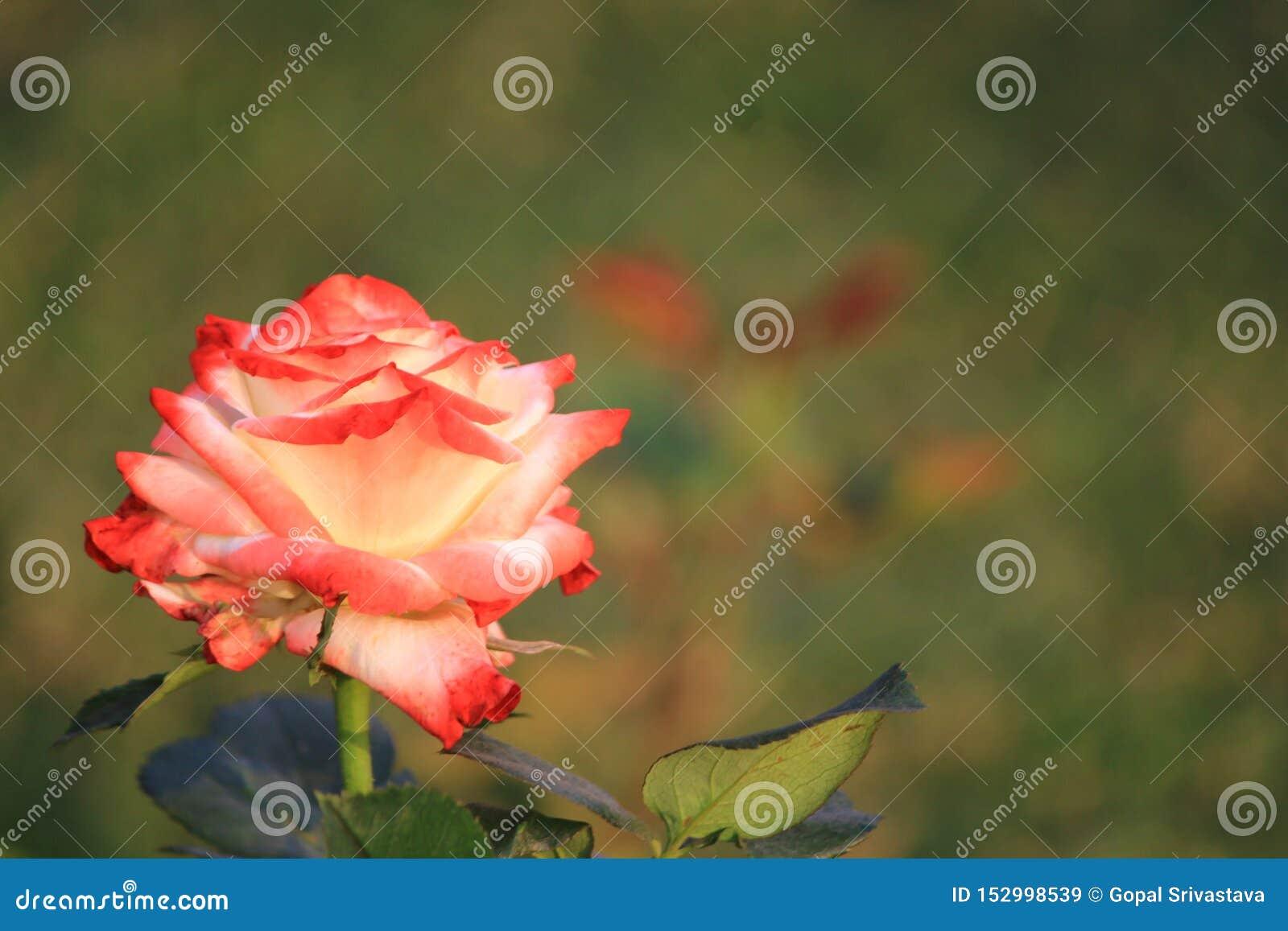 Довольно красочная роза смешанного цвета