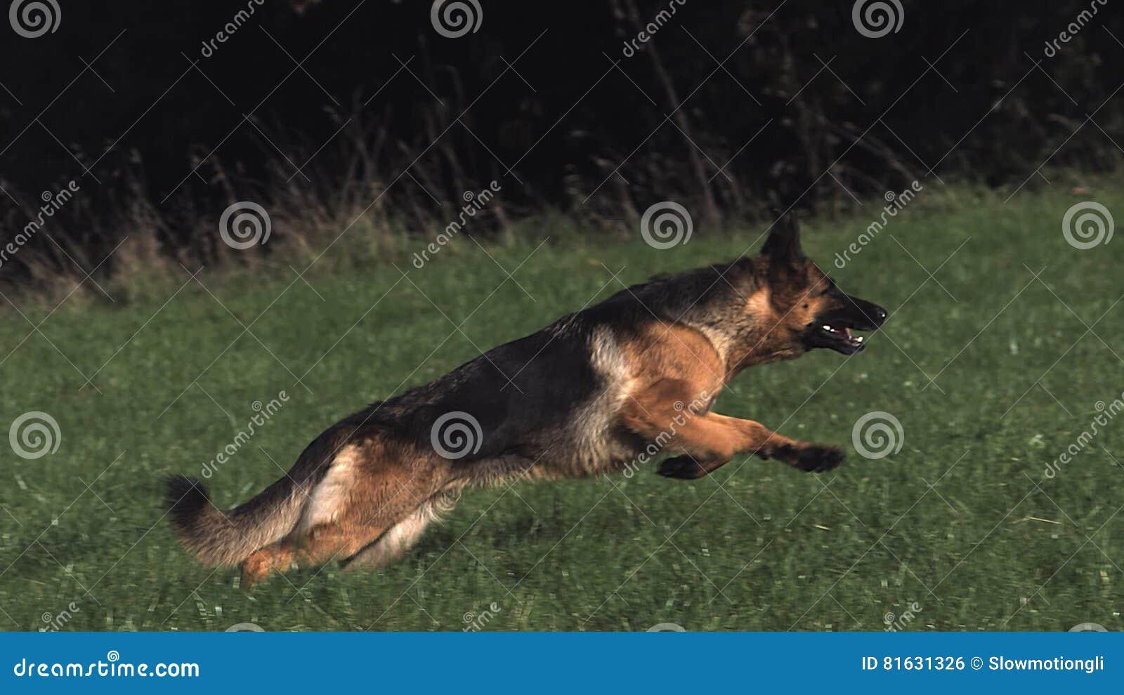 домашняя собака овчарка