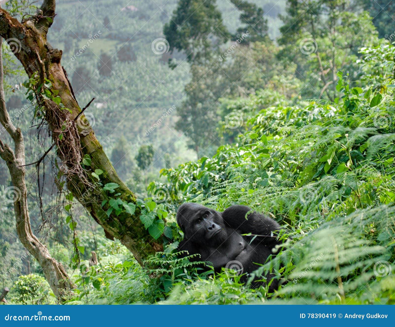 Доминантная мужская горилла горы в траве Уганда Национальный парк леса Bwindi труднопроходимый