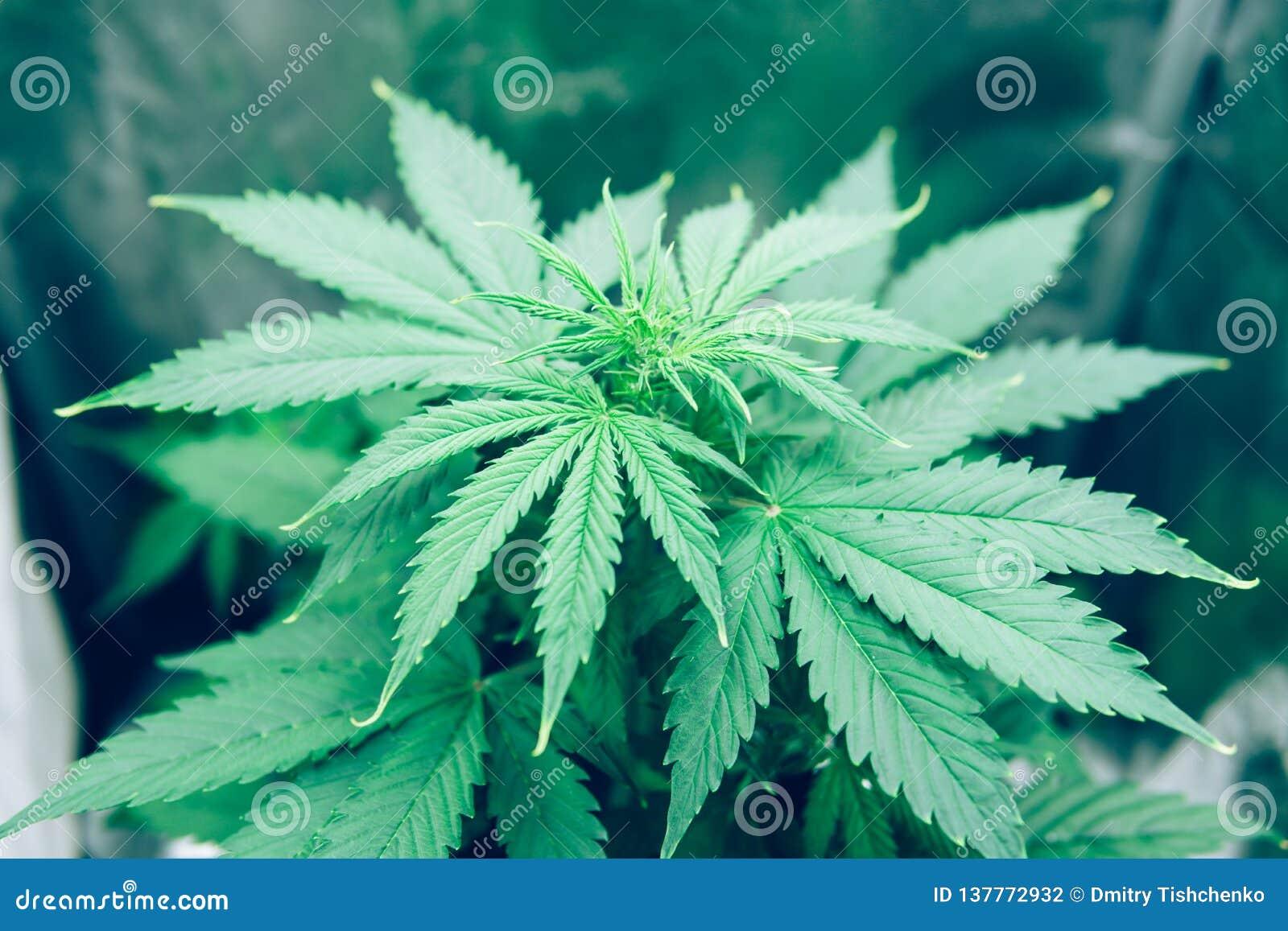 Законно ли выращивать дома коноплю сколько в россии стоит марихуана
